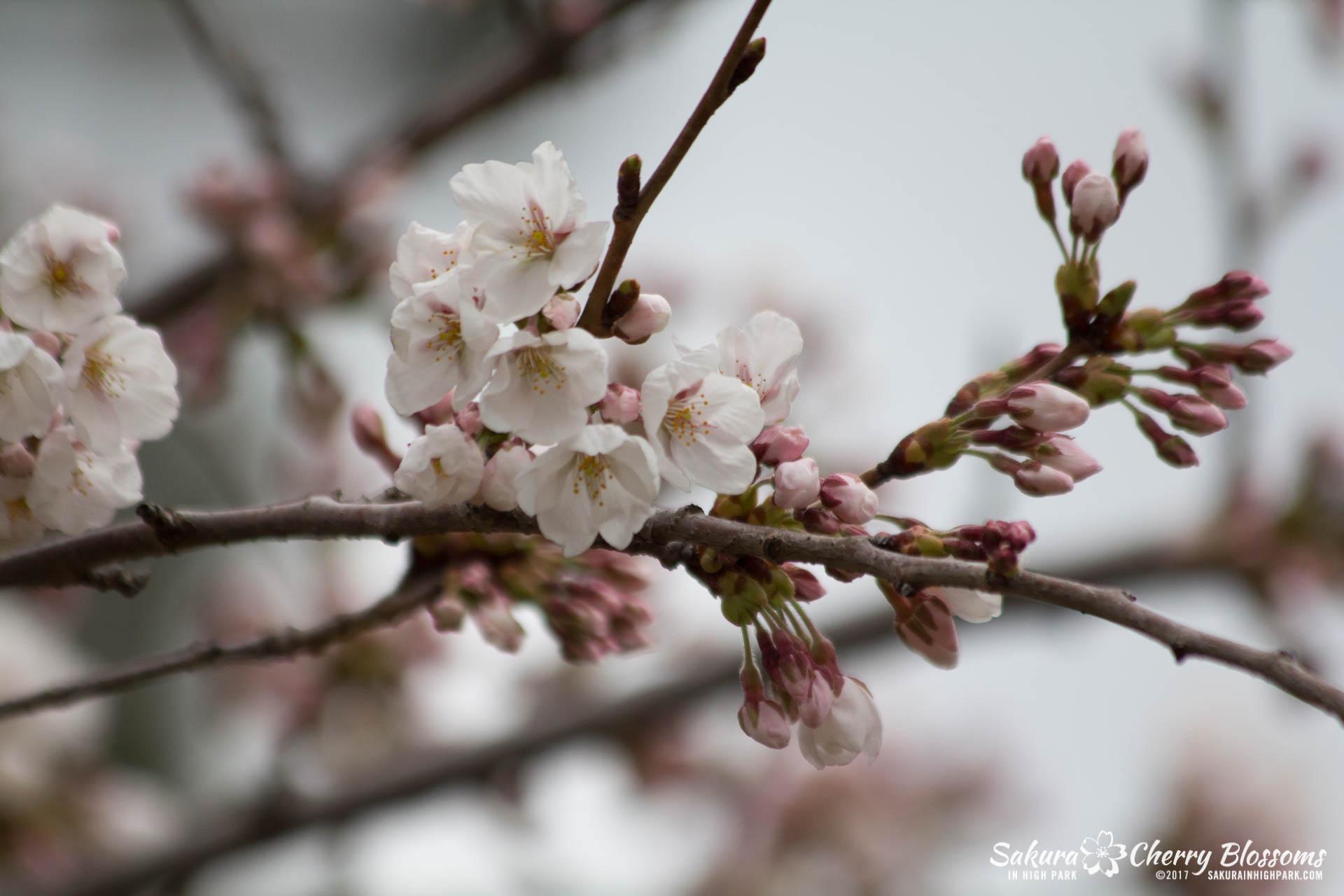 Sakura-Watch-April-21-2017-bloom-still-in-early-stages-26.jpg