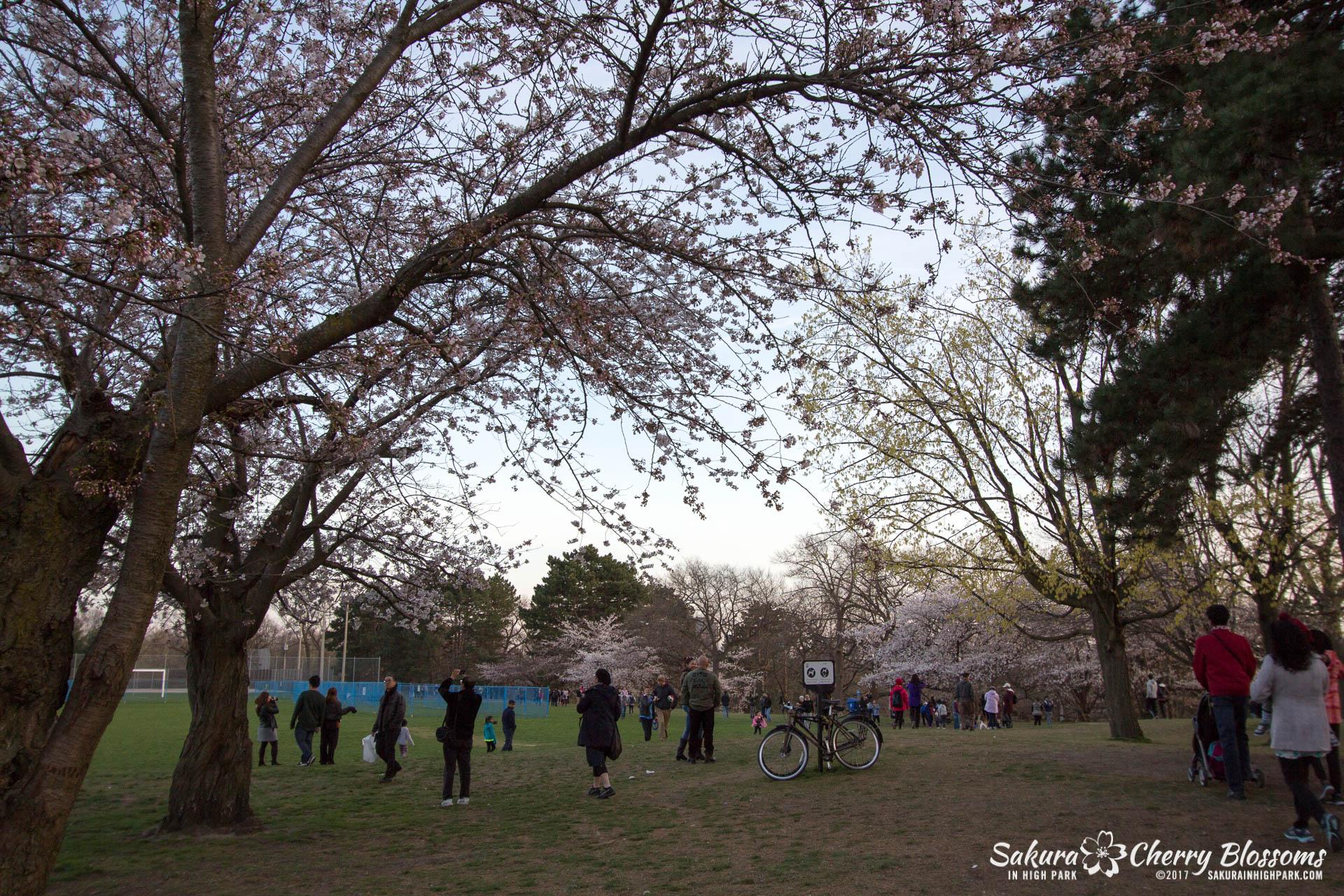 Sakura-Watch-April-24-2017-bloom-has-begun-with-more-to-come-228.jpg