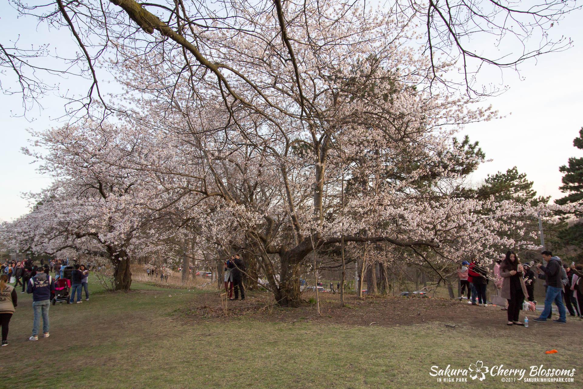 Sakura-Watch-April-24-2017-bloom-has-begun-with-more-to-come-213.jpg