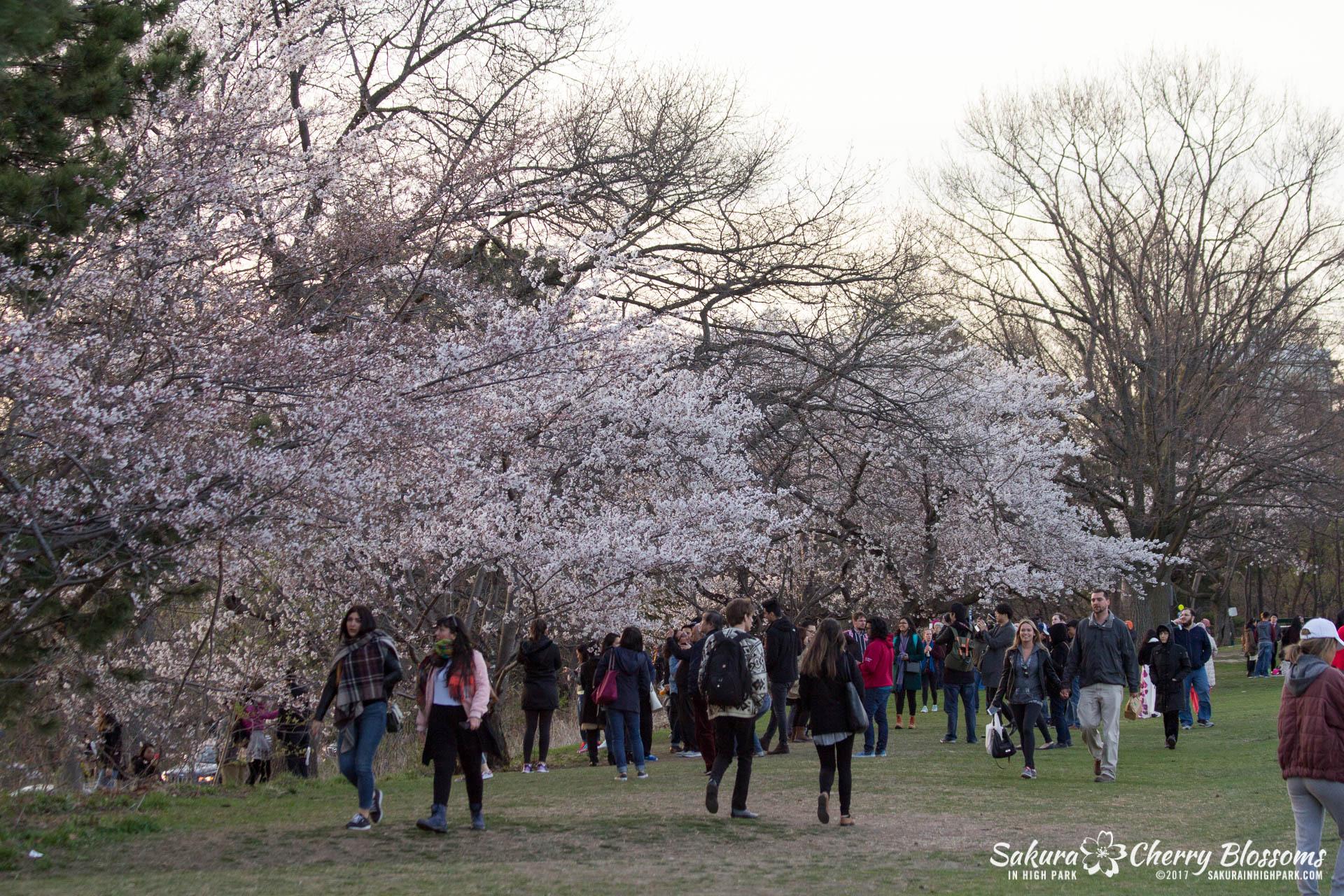 Sakura-Watch-April-24-2017-bloom-has-begun-with-more-to-come-187.jpg