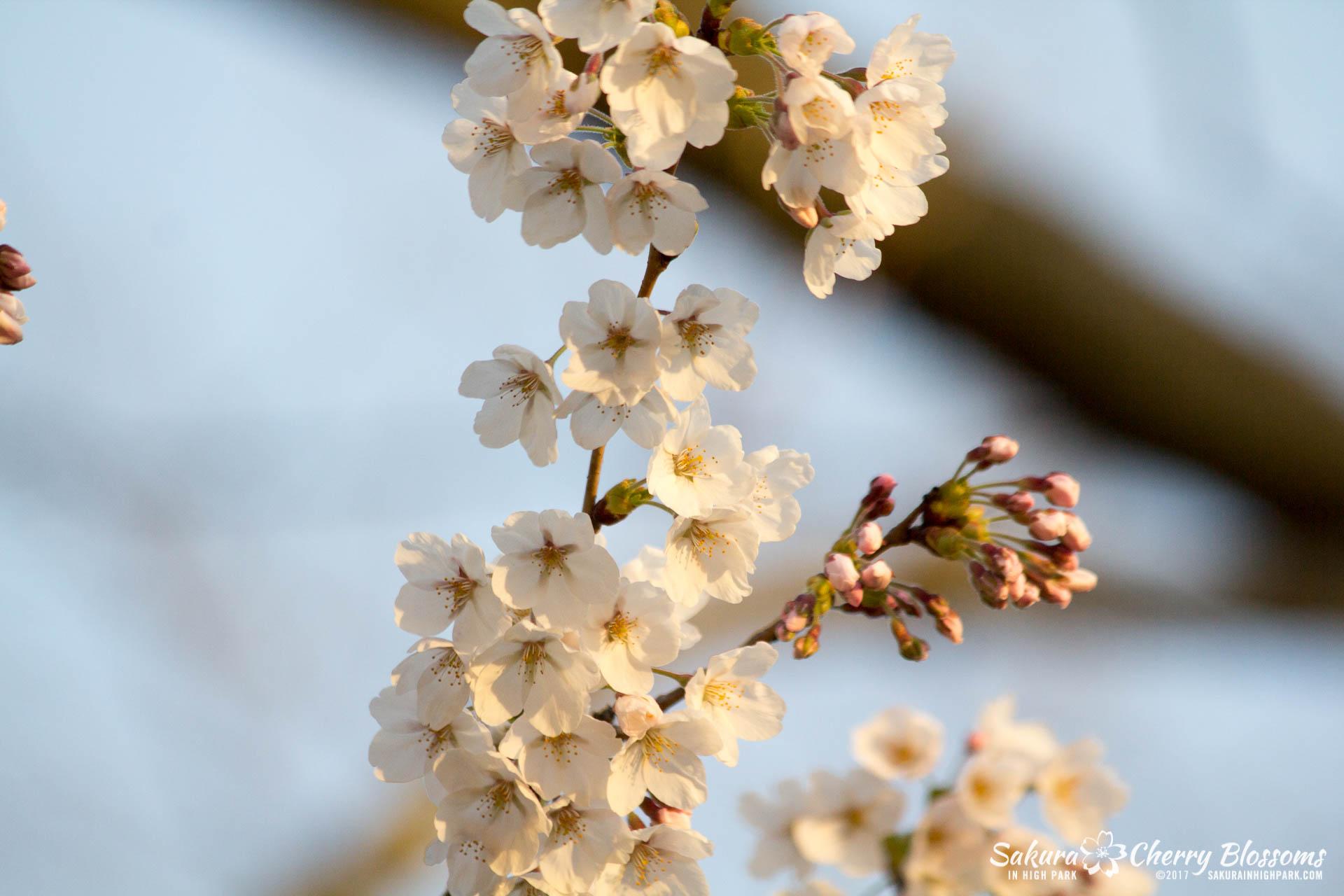 Sakura-Watch-April-24-2017-bloom-has-begun-with-more-to-come-130.jpg