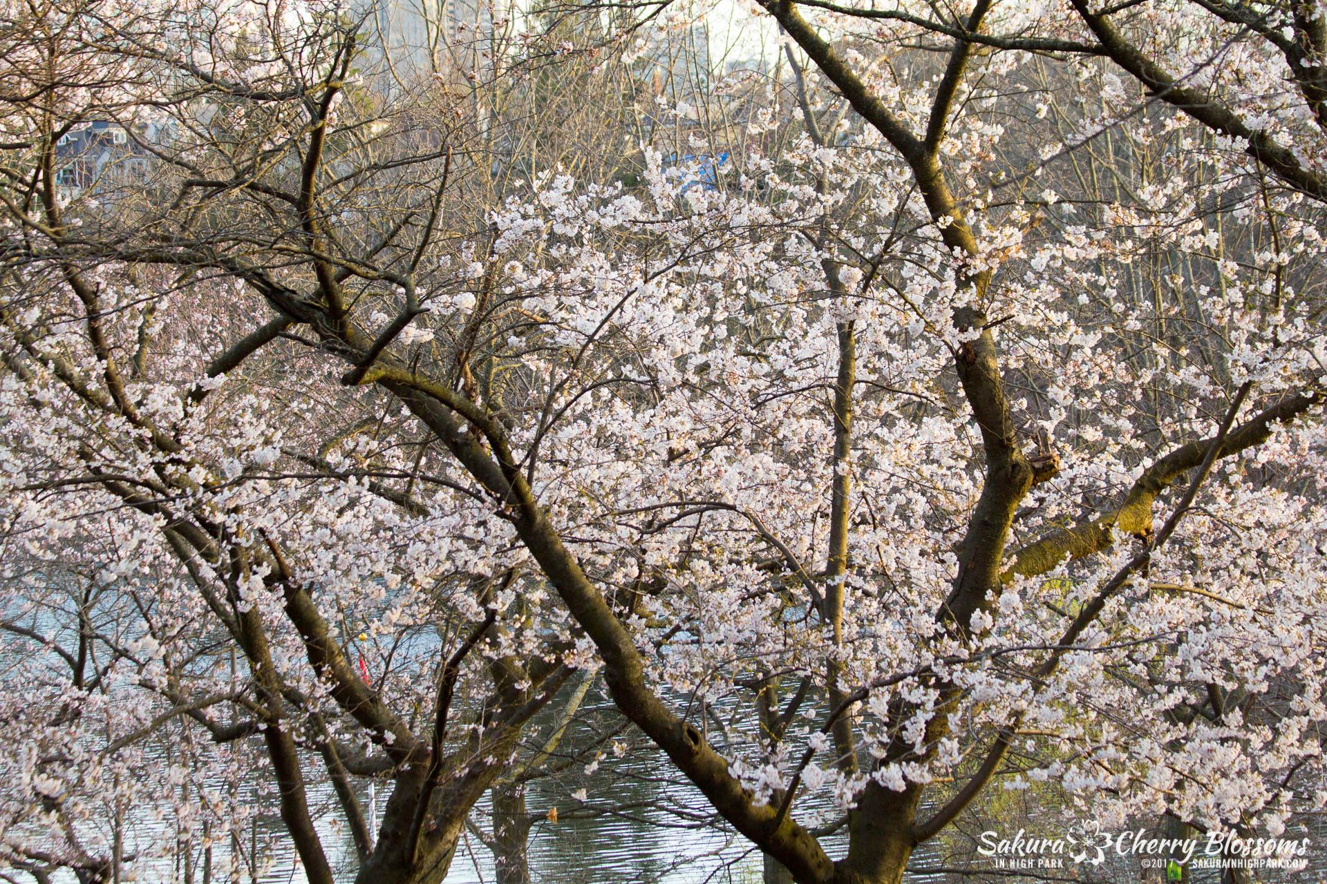 Sakura-Watch-April-24-2017-bloom-has-begun-with-more-to-come-100.jpg