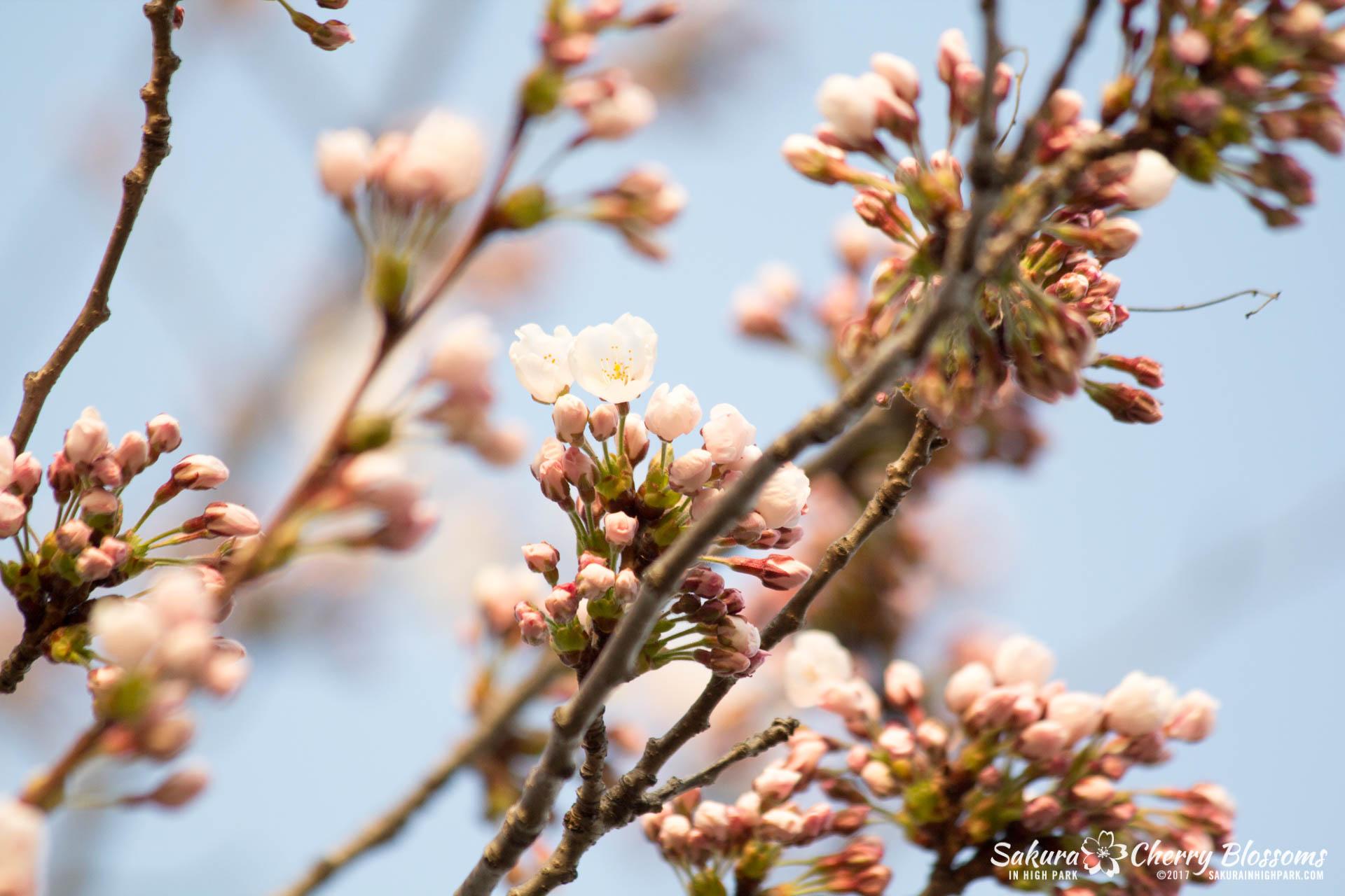 Sakura-Watch-April-24-2017-bloom-has-begun-with-more-to-come-66.jpg