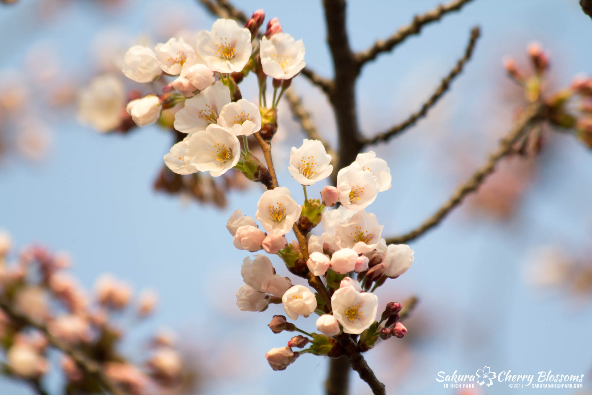 Sakura-Watch-April-24-2017-bloom-has-begun-with-more-to-come-64.jpg