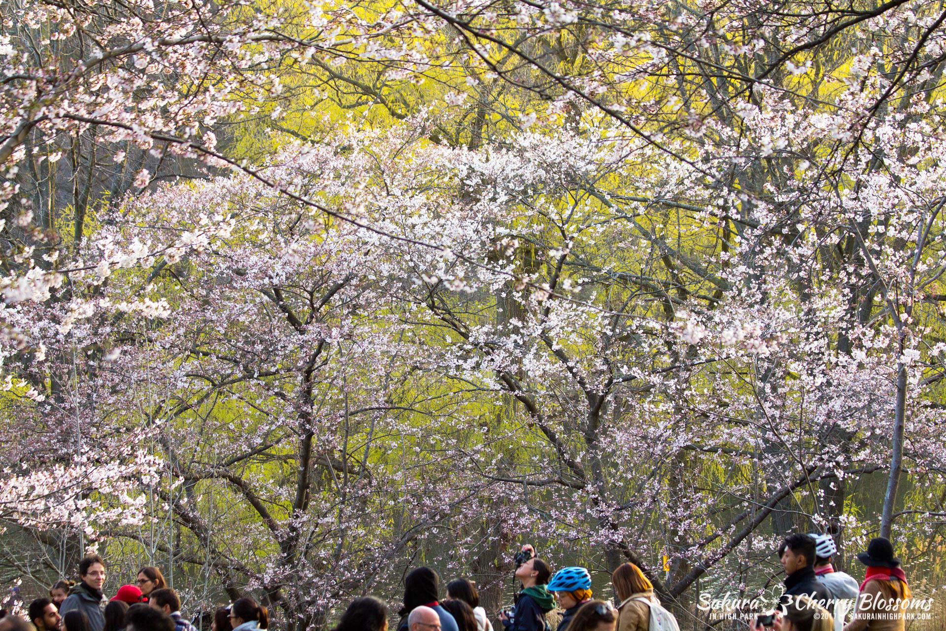 Sakura-Watch-April-24-2017-bloom-has-begun-with-more-to-come-97.jpg