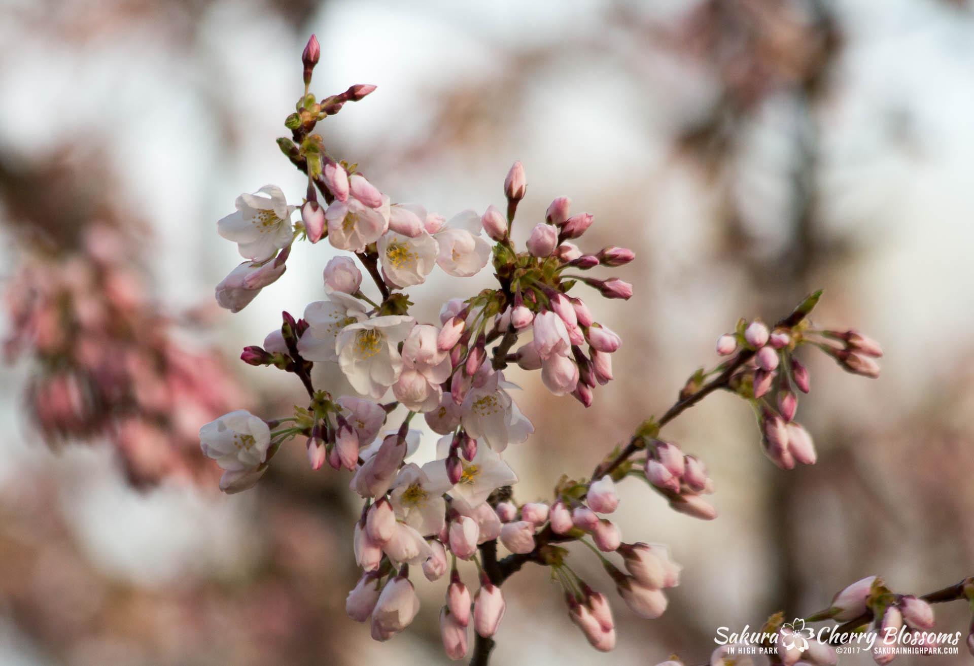 Sakura-Watch-April-24-2017-bloom-has-begun-with-more-to-come-43.jpg