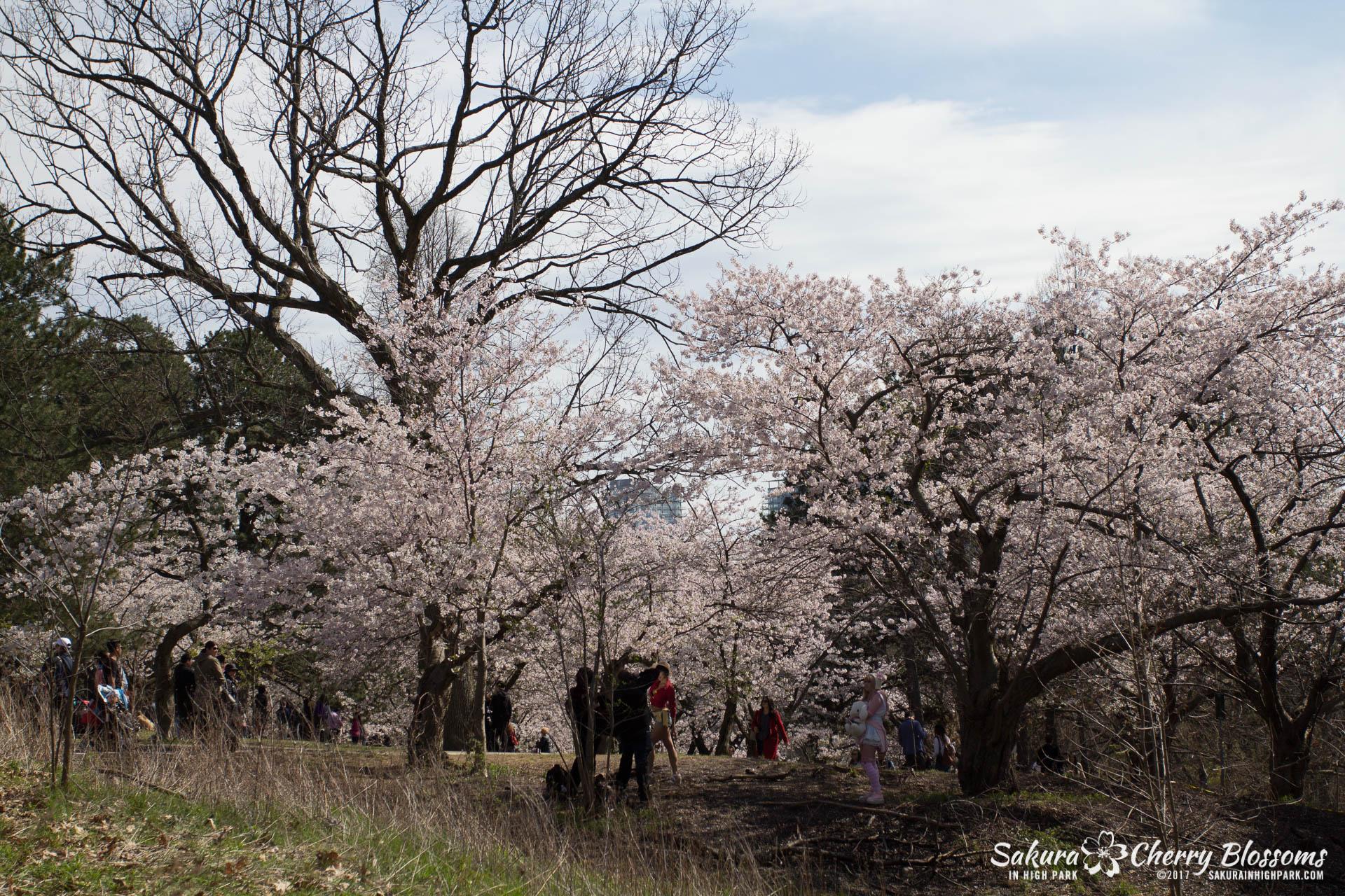 Sakura-Watch-April-28-2017-full-bloom-throughout-High-Park-5672.jpg