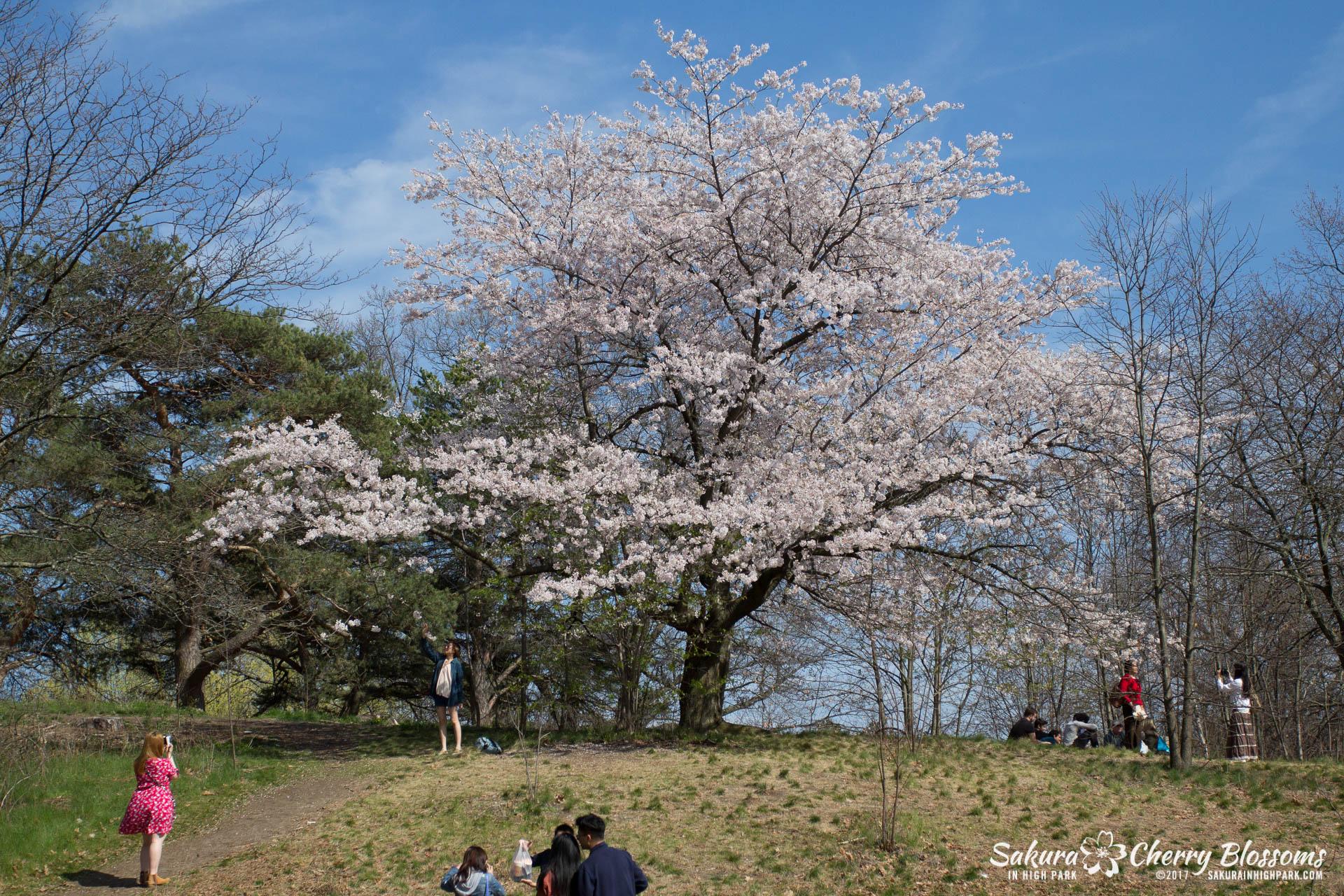 Sakura-Watch-April-28-2017-full-bloom-throughout-High-Park-5666.jpg