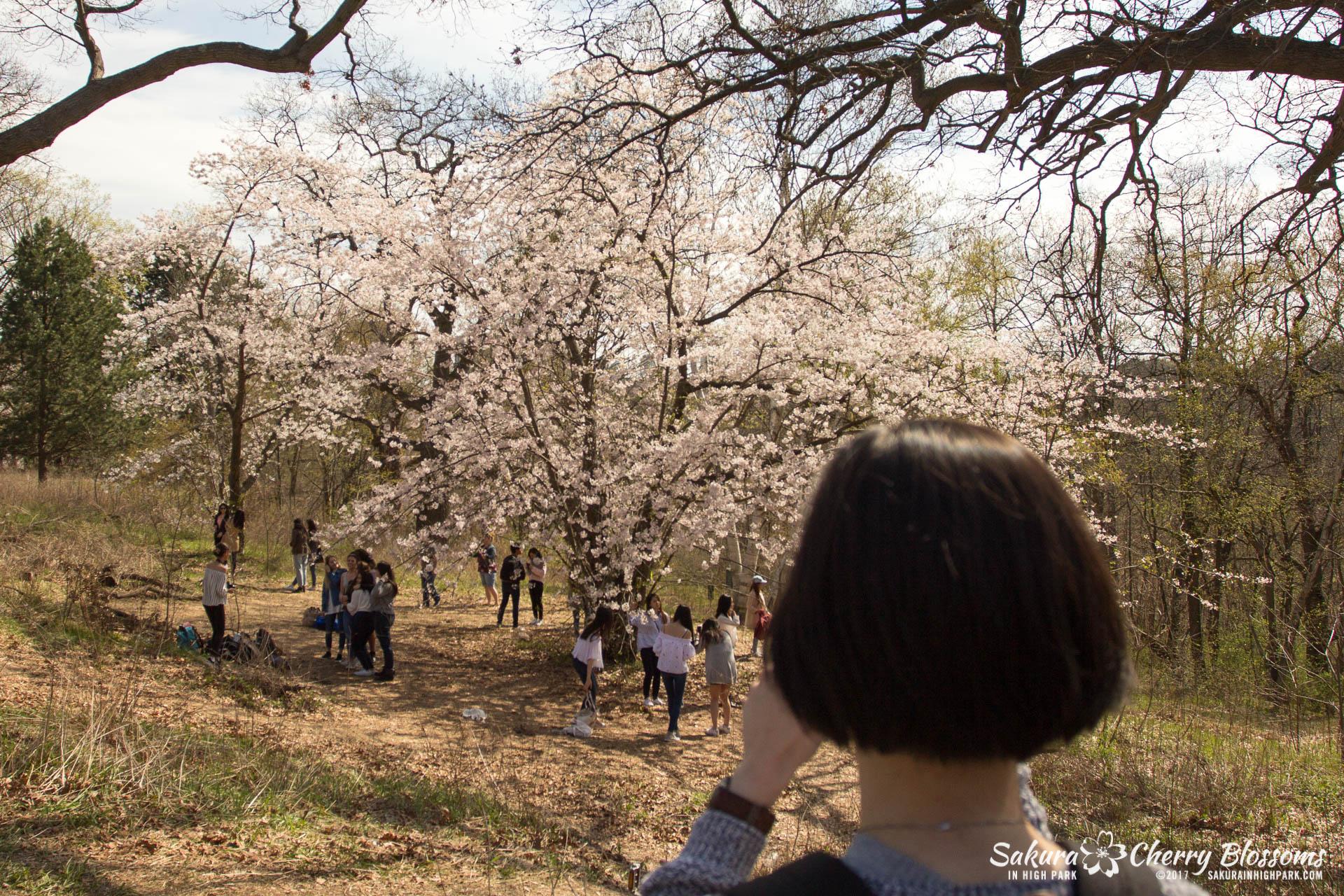 Sakura-Watch-April-28-2017-full-bloom-throughout-High-Park-5660.jpg