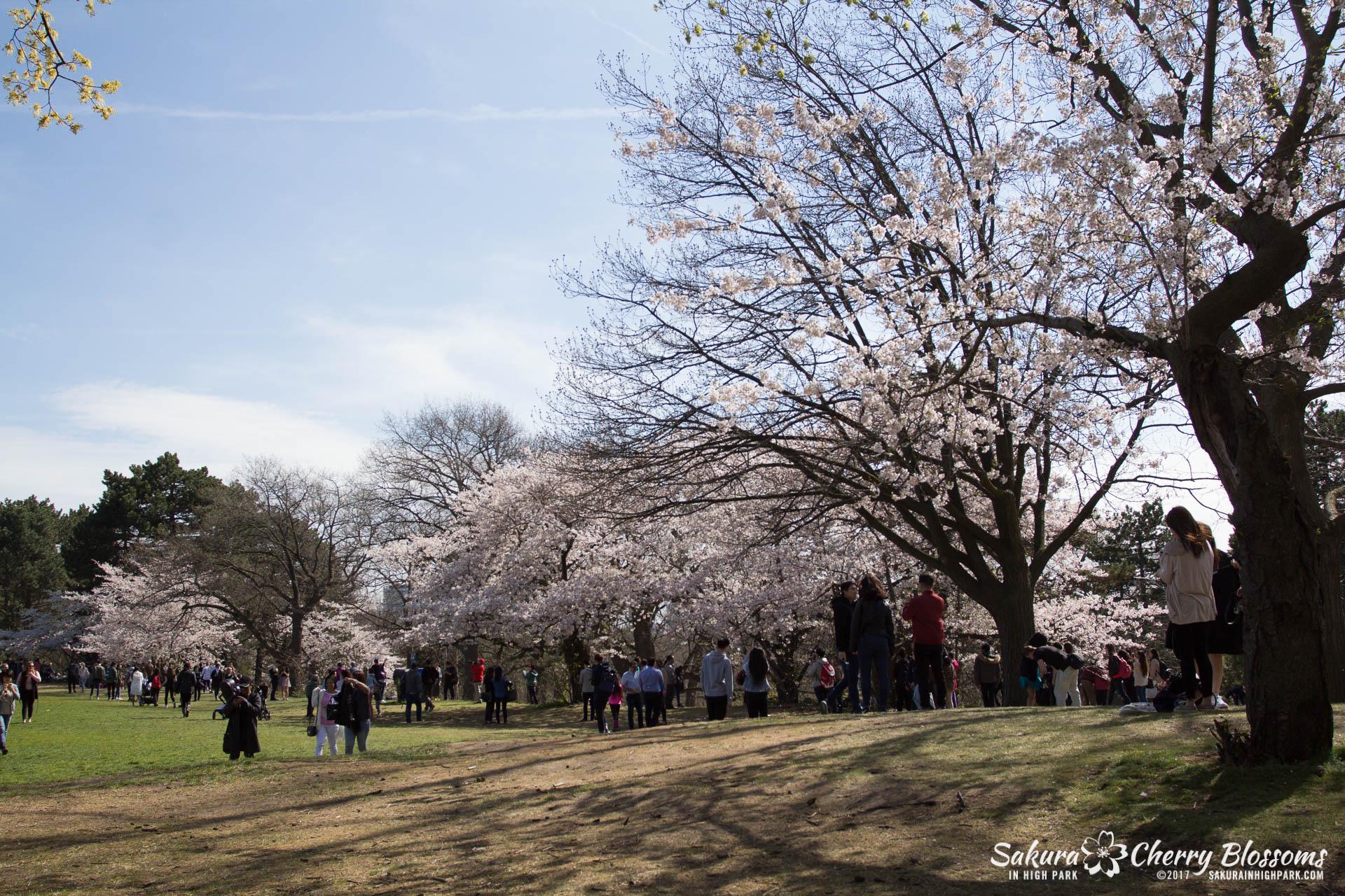 Sakura-Watch-April-28-2017-full-bloom-throughout-High-Park-5627.jpg