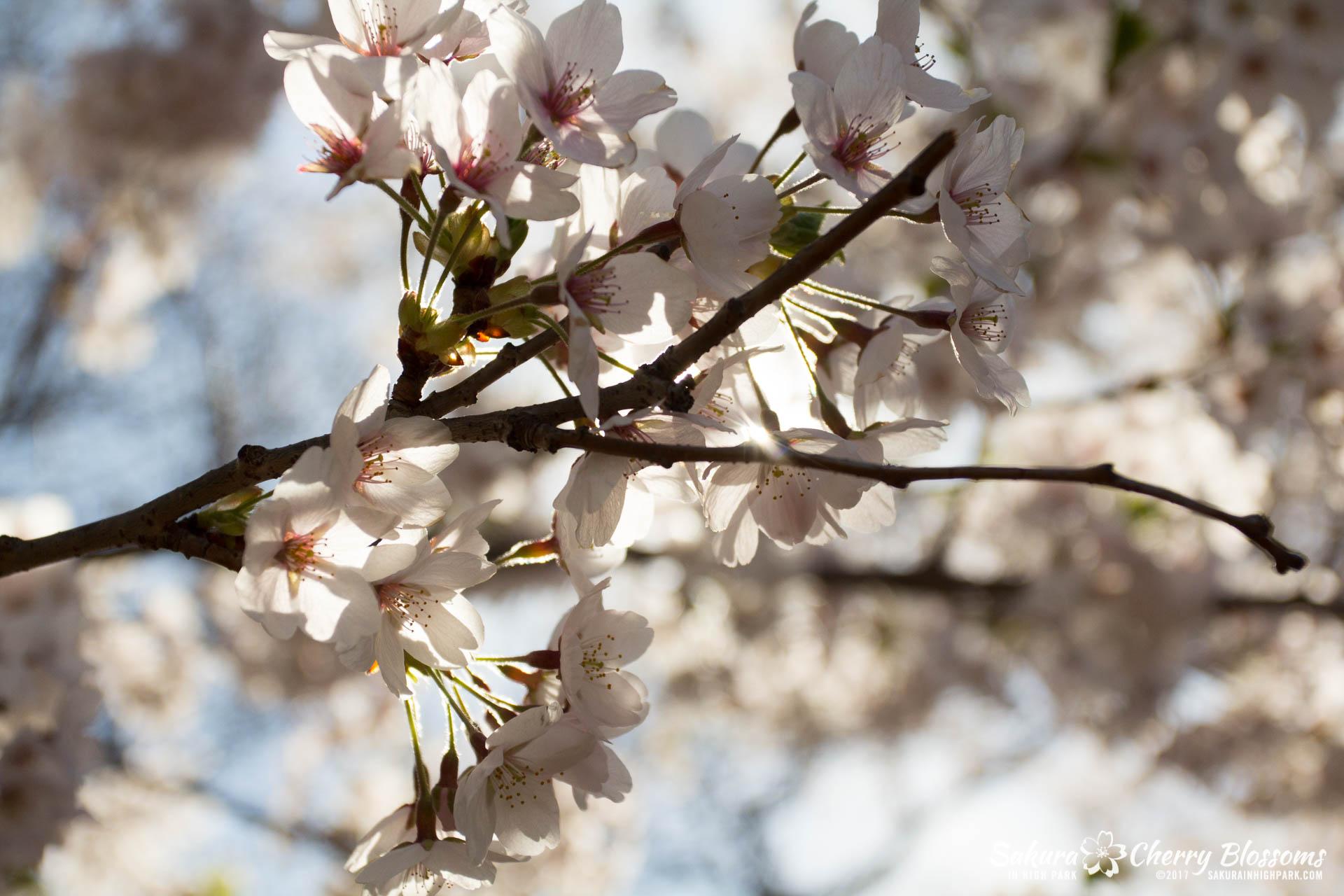 Sakura-Watch-April-28-2017-full-bloom-throughout-High-Park-5637.jpg
