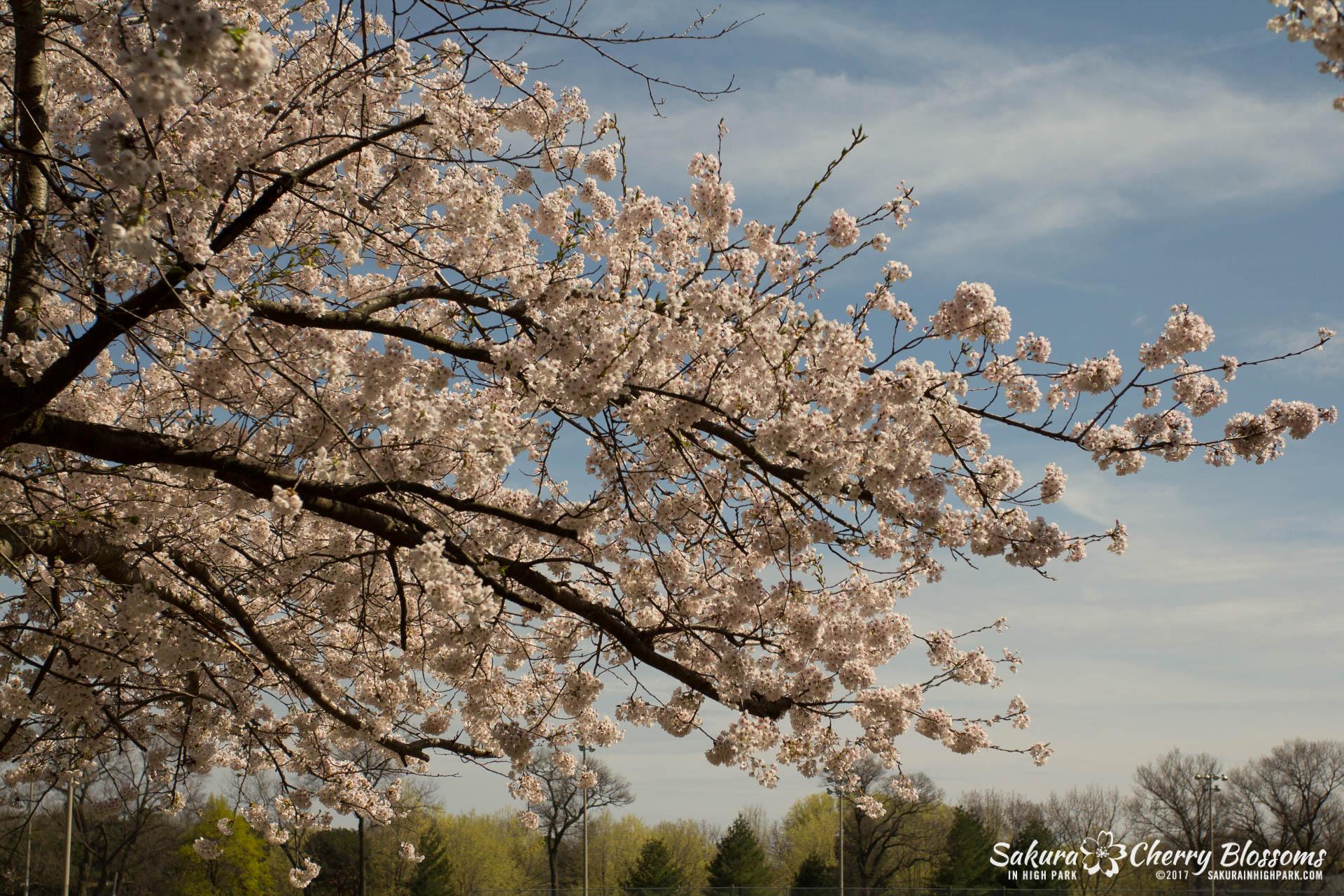 Sakura-Watch-April-28-2017-full-bloom-throughout-High-Park-5619.jpg