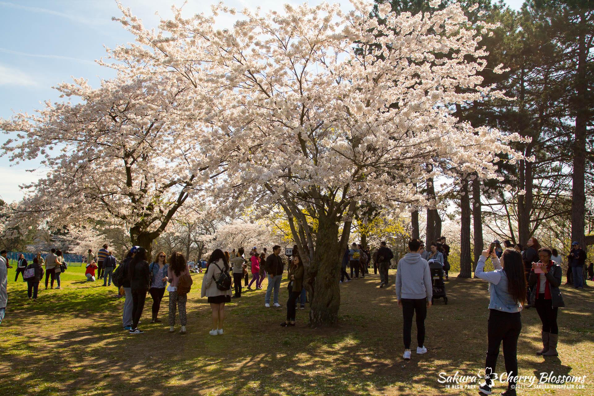 Sakura-Watch-April-28-2017-full-bloom-throughout-High-Park-5606.jpg