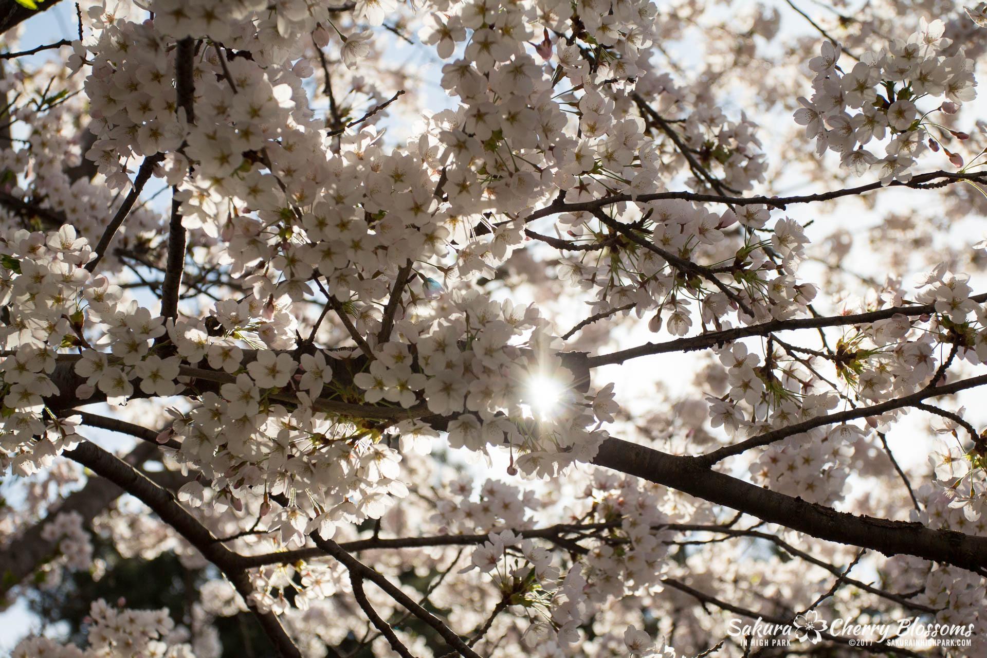 Sakura-Watch-April-28-2017-full-bloom-throughout-High-Park-5614.jpg