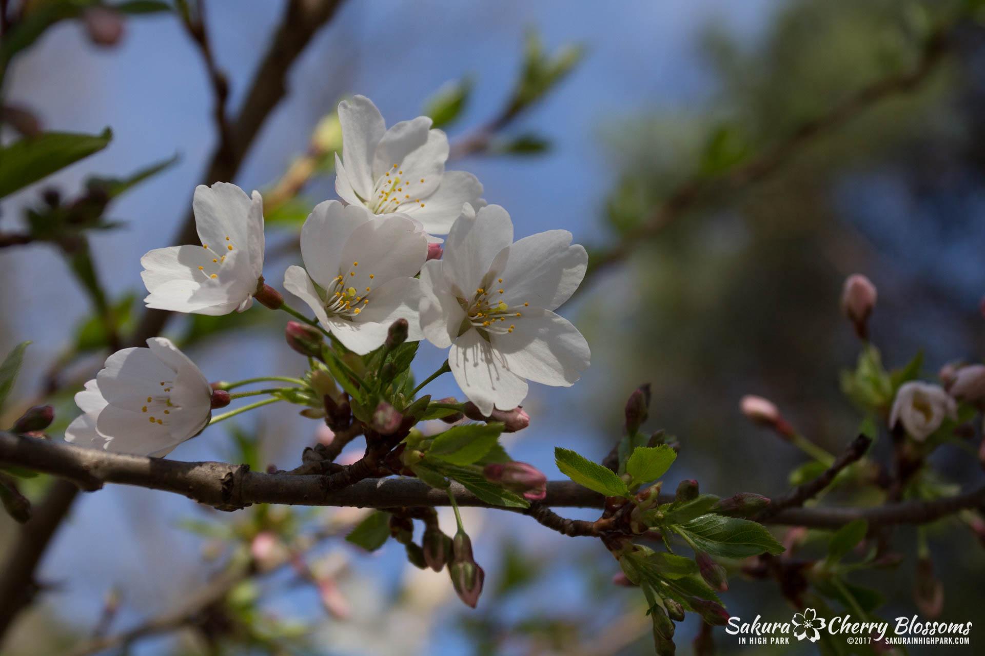 Sakura-Watch-April-28-2017-full-bloom-throughout-High-Park-5759.jpg