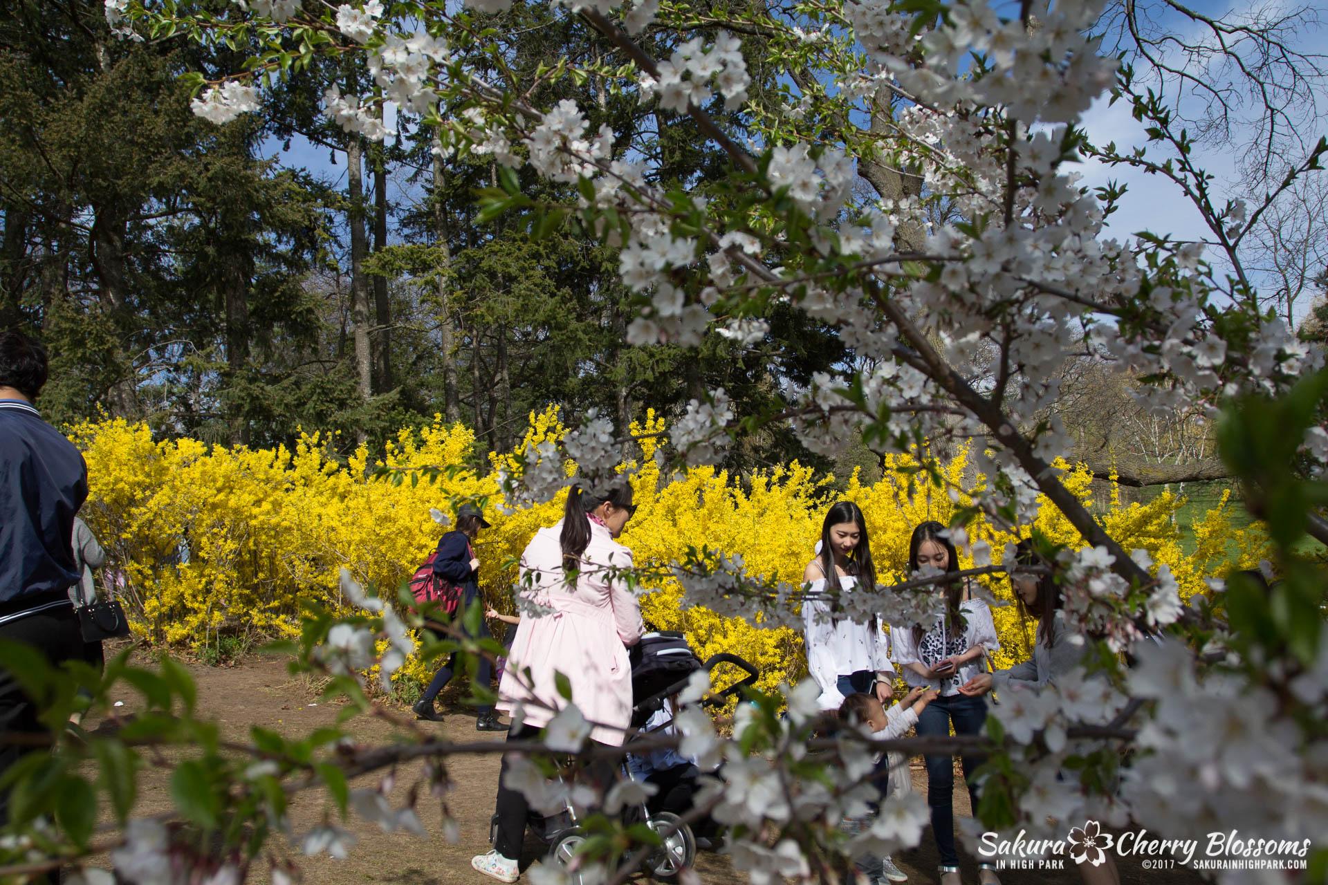 Sakura-Watch-April-28-2017-full-bloom-throughout-High-Park-5750.jpg
