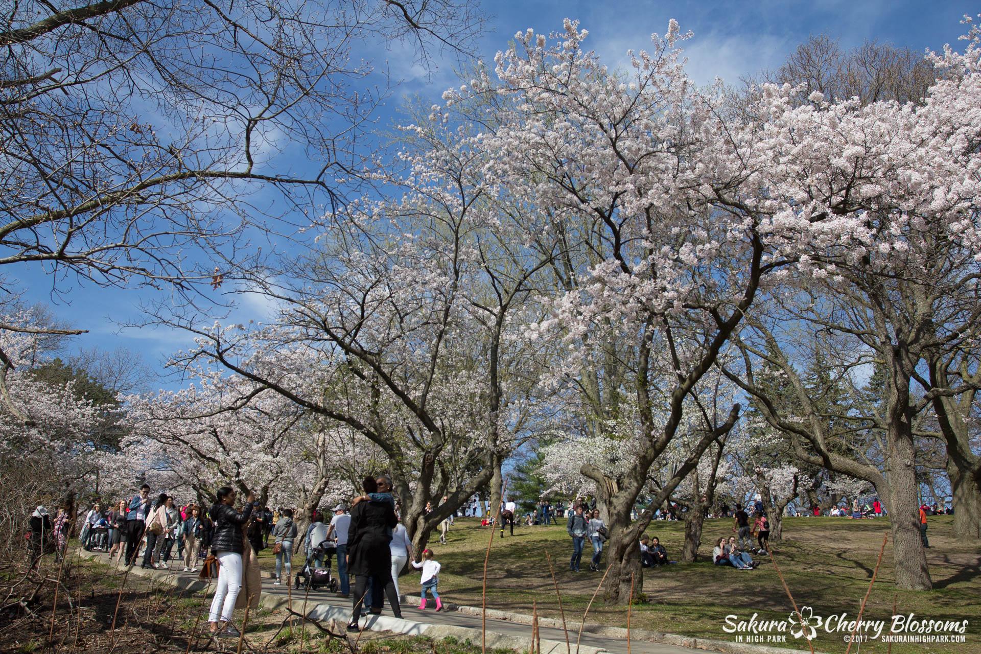 Sakura-Watch-April-28-2017-full-bloom-throughout-High-Park-5747.jpg