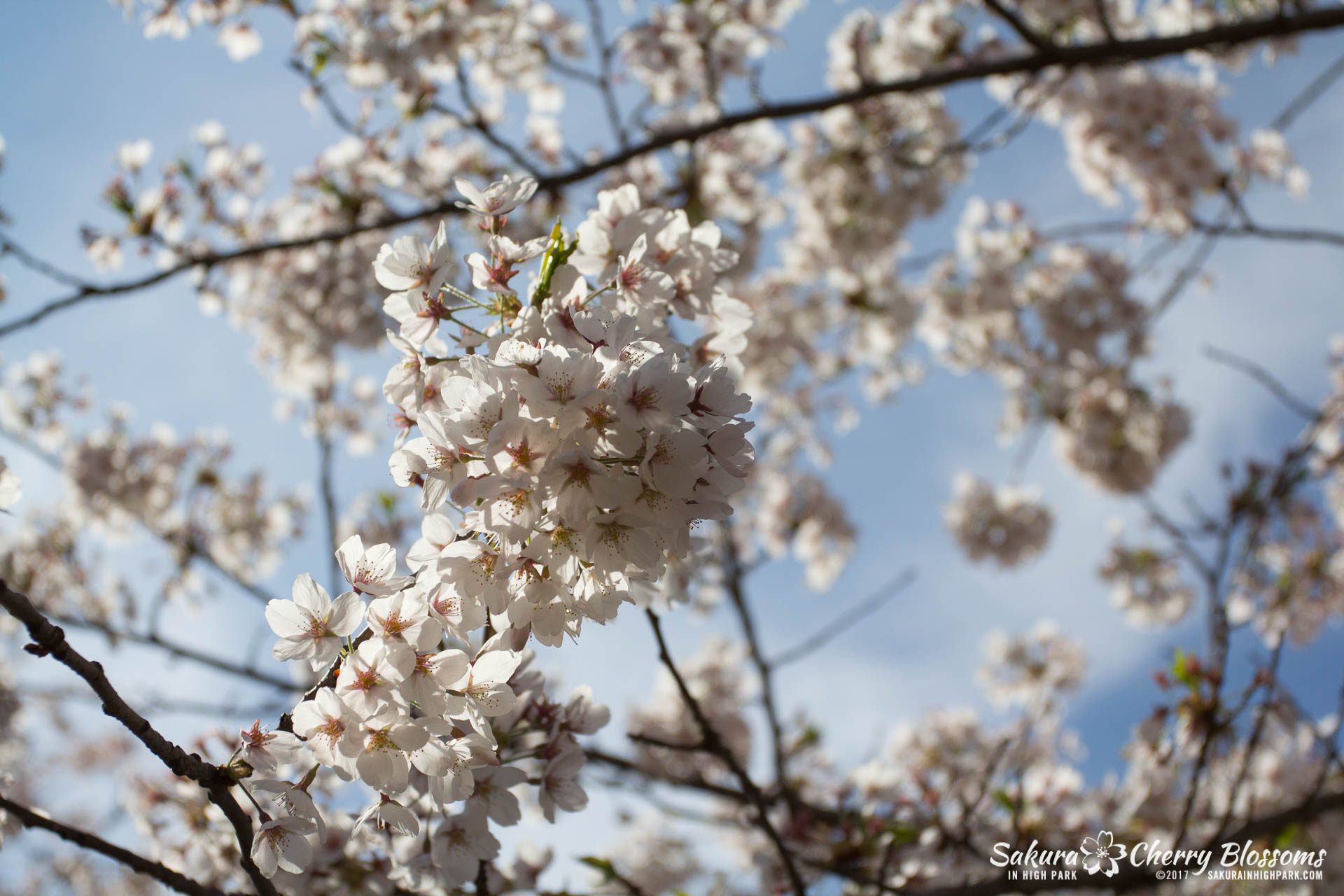 Sakura-Watch-April-28-2017-full-bloom-throughout-High-Park-5699.jpg