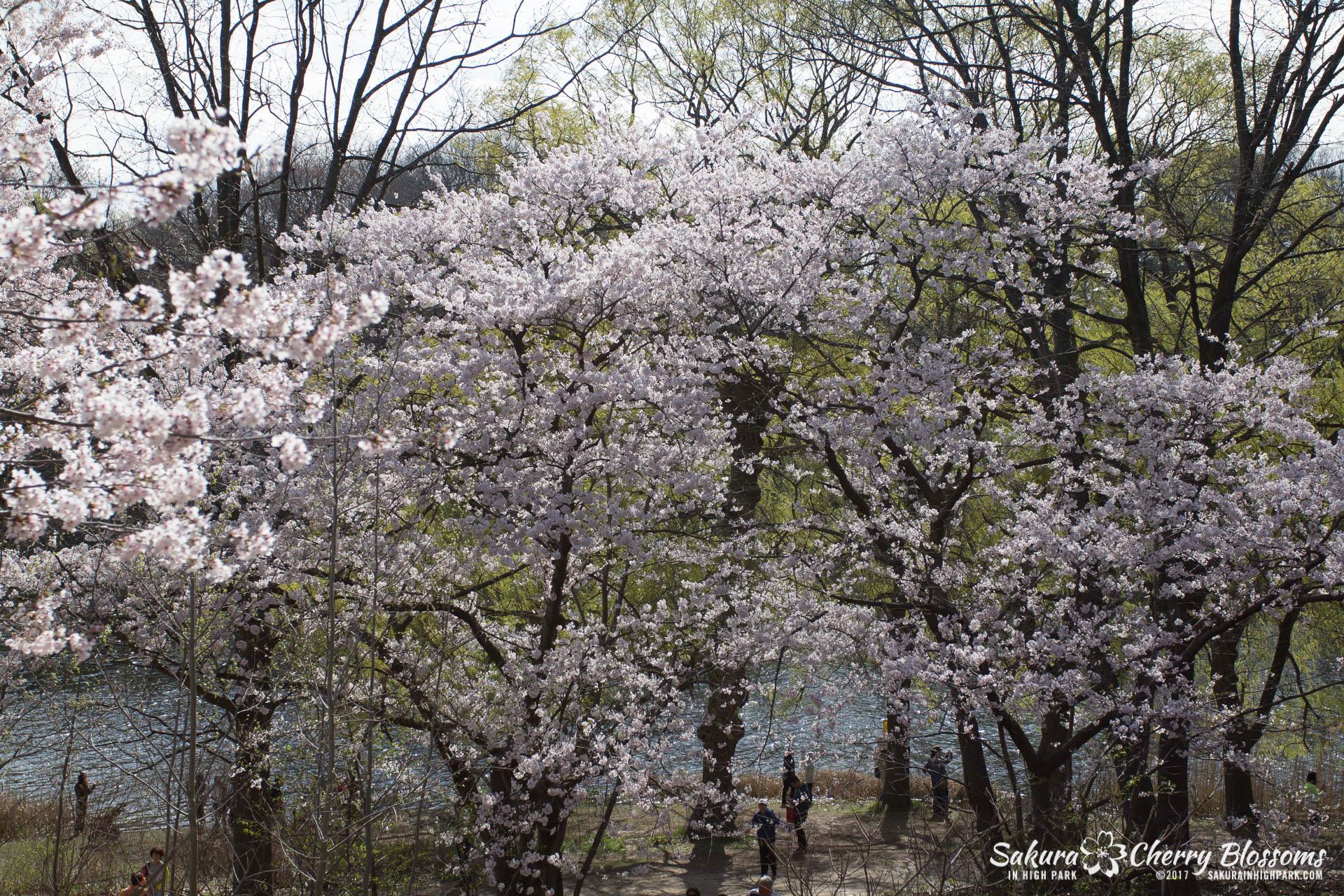 Sakura-Watch-April-28-2017-full-bloom-throughout-High-Park-5737.jpg