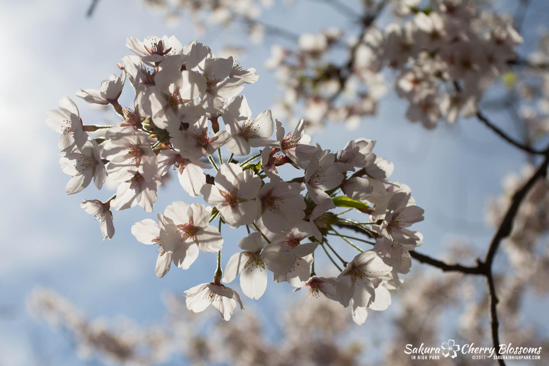 Sakura-Watch-April-28-2017-full-bloom-throughout-High-Park-5680.jpg