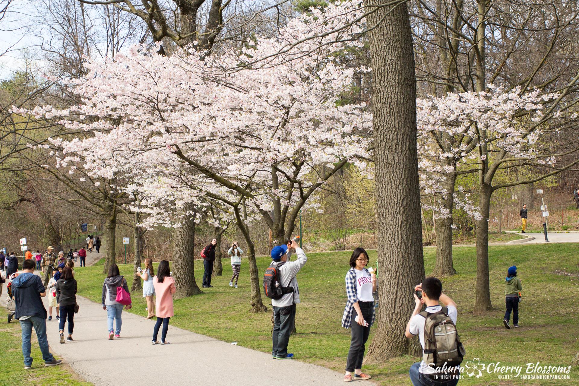 Sakura-Watch-April-28-2017-full-bloom-throughout-High-Park-5920.jpg