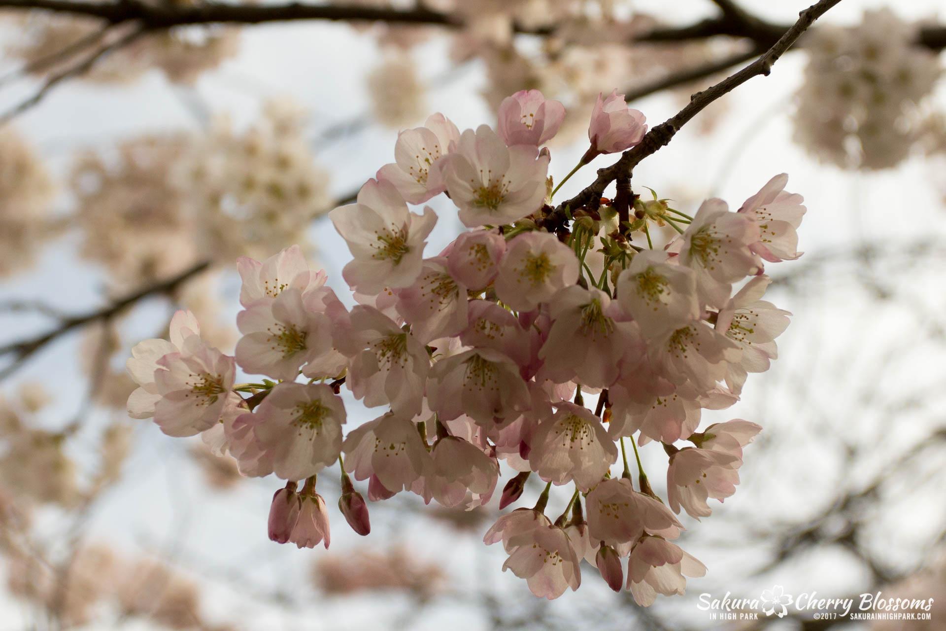 Sakura-Watch-April-28-2017-full-bloom-throughout-High-Park-5880.jpg