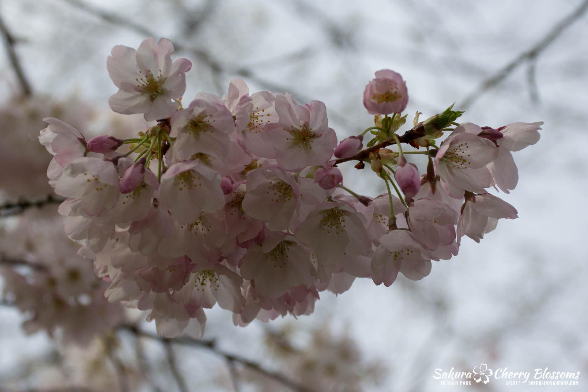 Sakura-Watch-April-28-2017-full-bloom-throughout-High-Park-5885.jpg