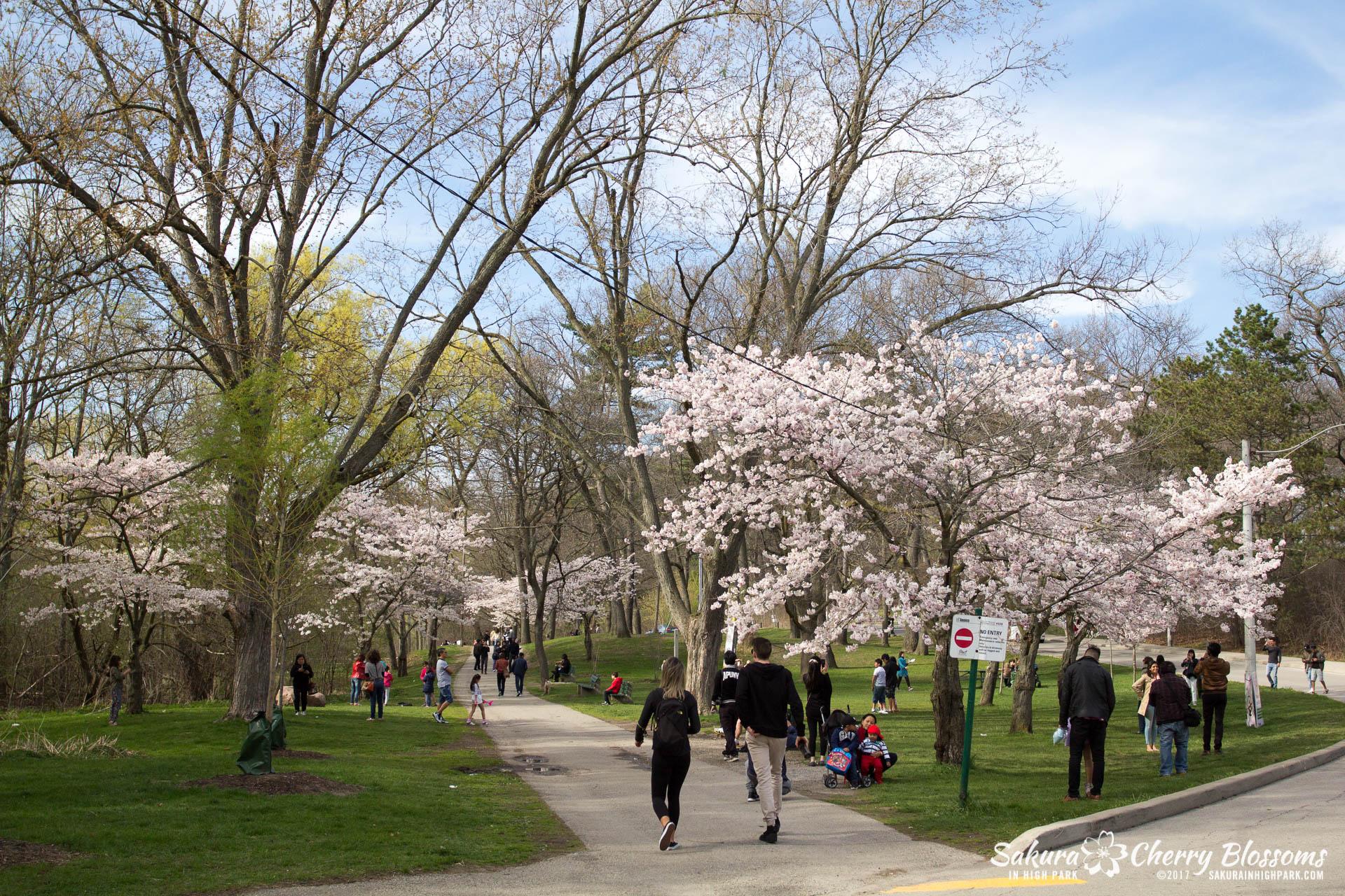 Sakura-Watch-April-28-2017-full-bloom-throughout-High-Park-5871.jpg