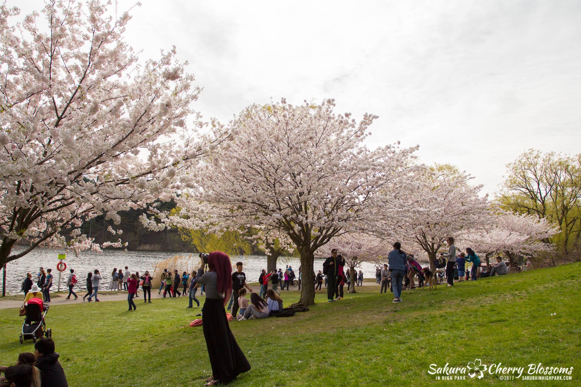Sakura-Watch-April-28-2017-full-bloom-throughout-High-Park-5854.jpg