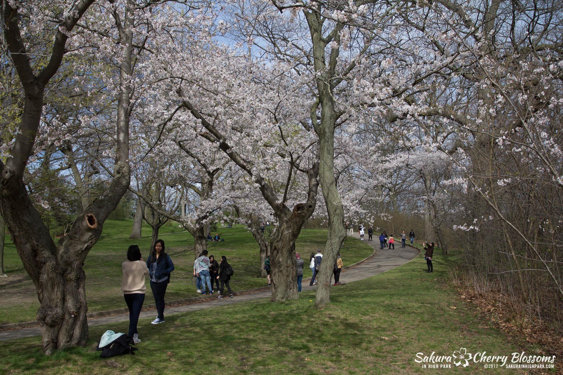 Sakura-Watch-April-28-2017-full-bloom-throughout-High-Park-5867.jpg
