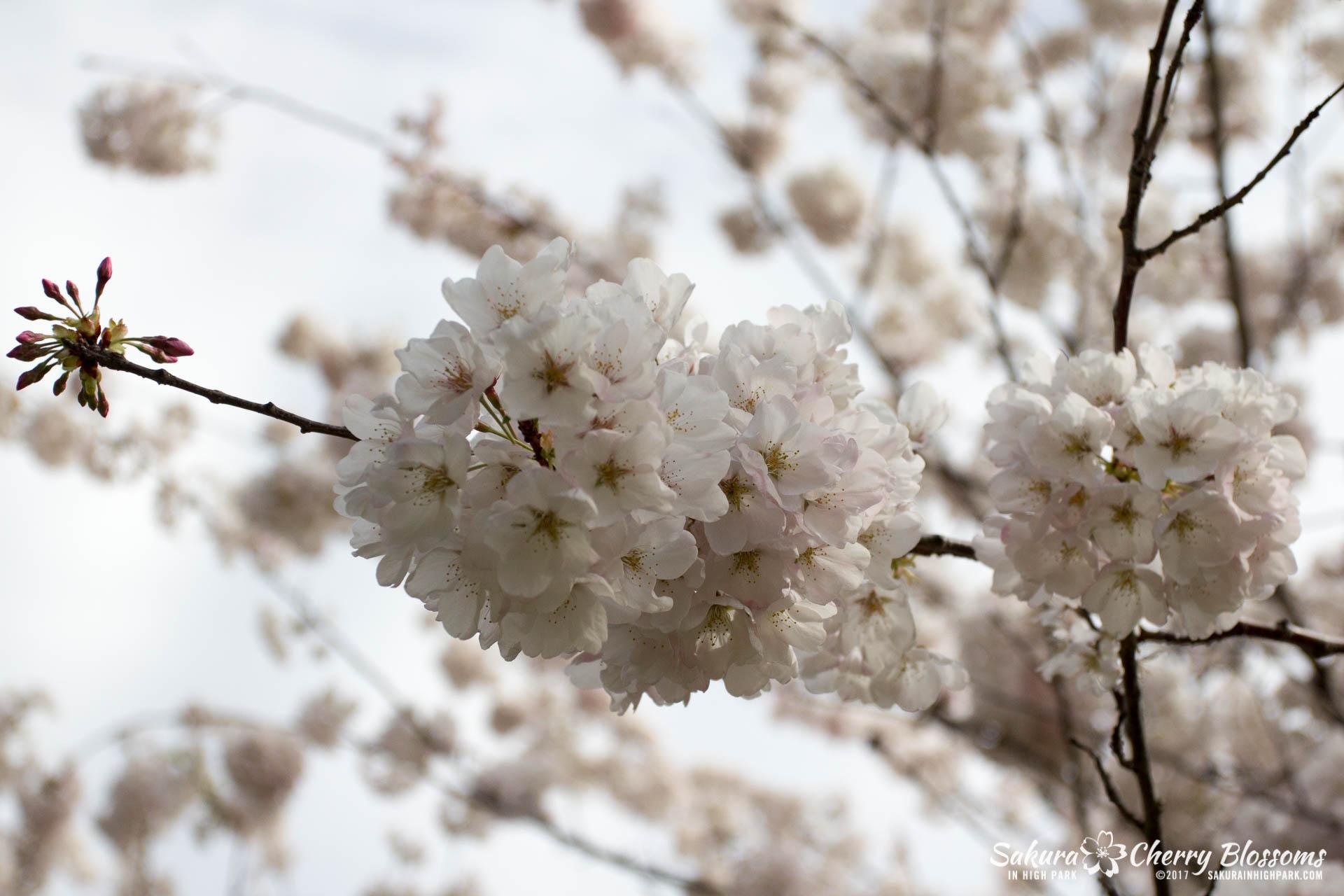 Sakura-Watch-April-28-2017-full-bloom-throughout-High-Park-5833.jpg