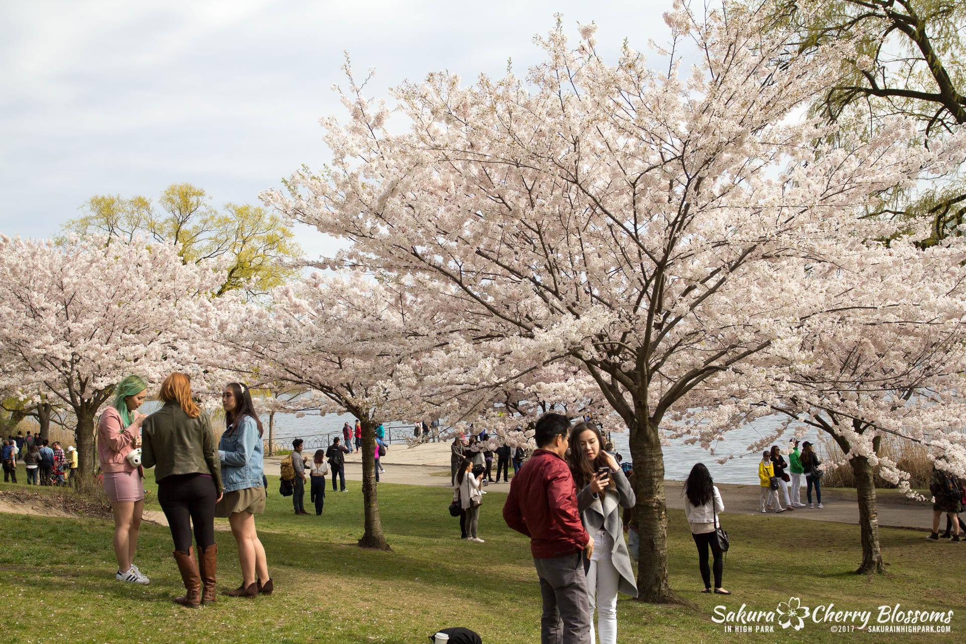 Sakura-Watch-April-28-2017-full-bloom-throughout-High-Park-5820.jpg