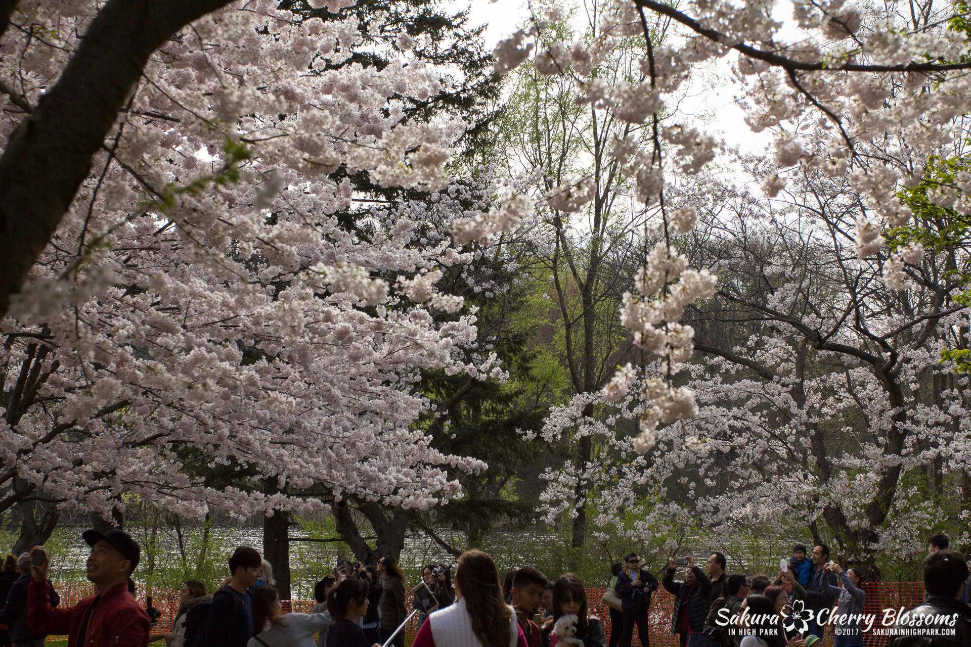 Sakura-Watch-April-28-2017-full-bloom-throughout-High-Park-5790.jpg