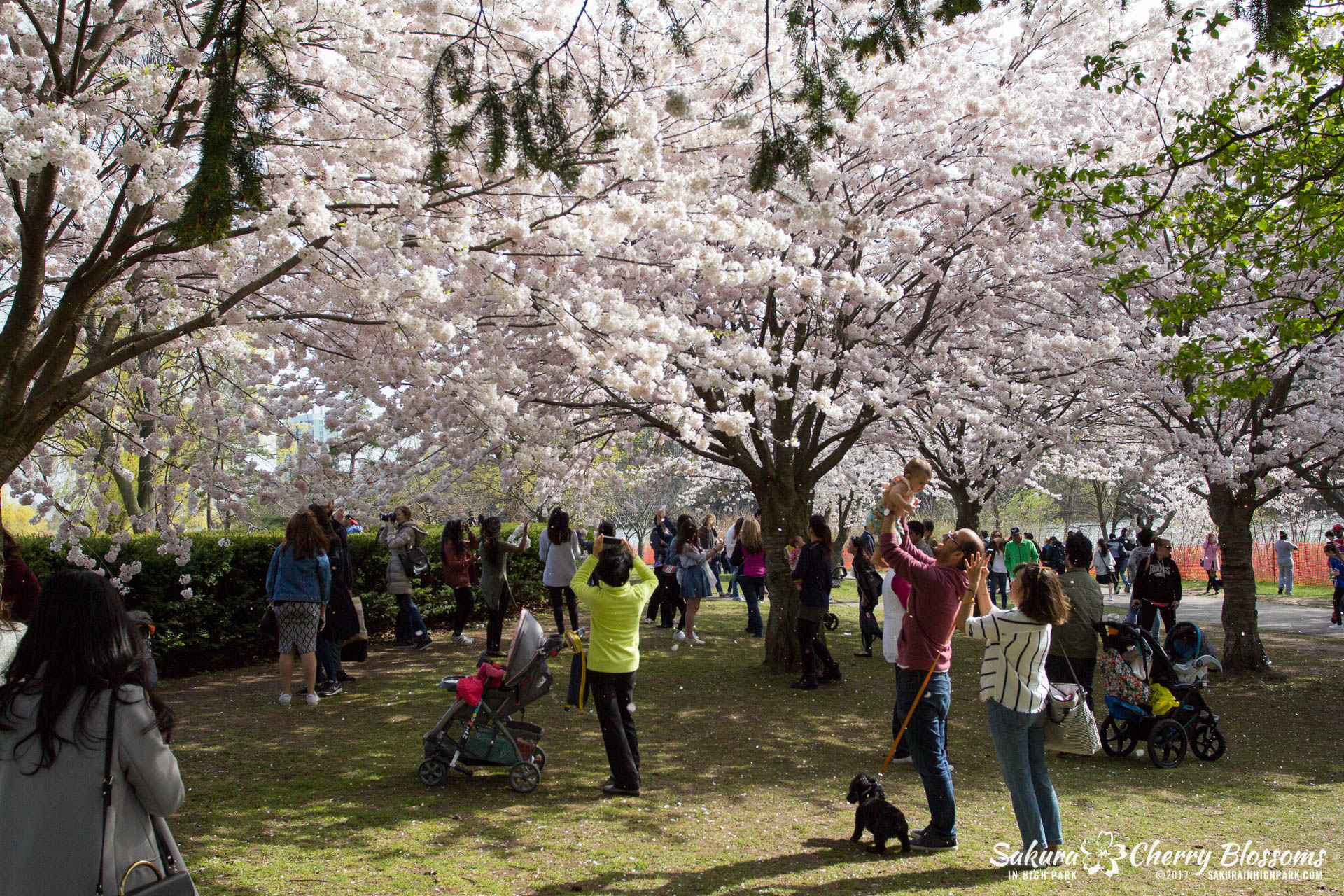 Sakura-Watch-April-28-2017-full-bloom-throughout-High-Park-5778.jpg