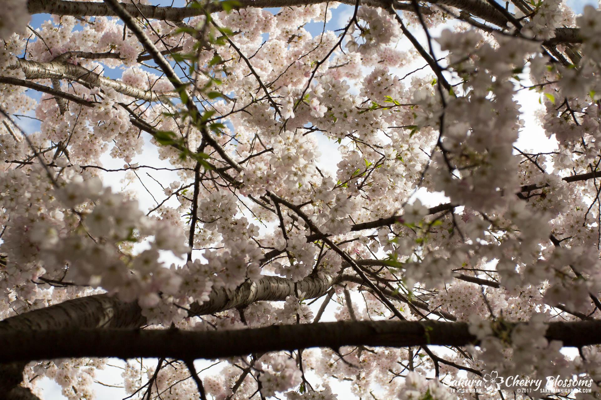 Sakura-Watch-April-28-2017-full-bloom-throughout-High-Park-5787.jpg