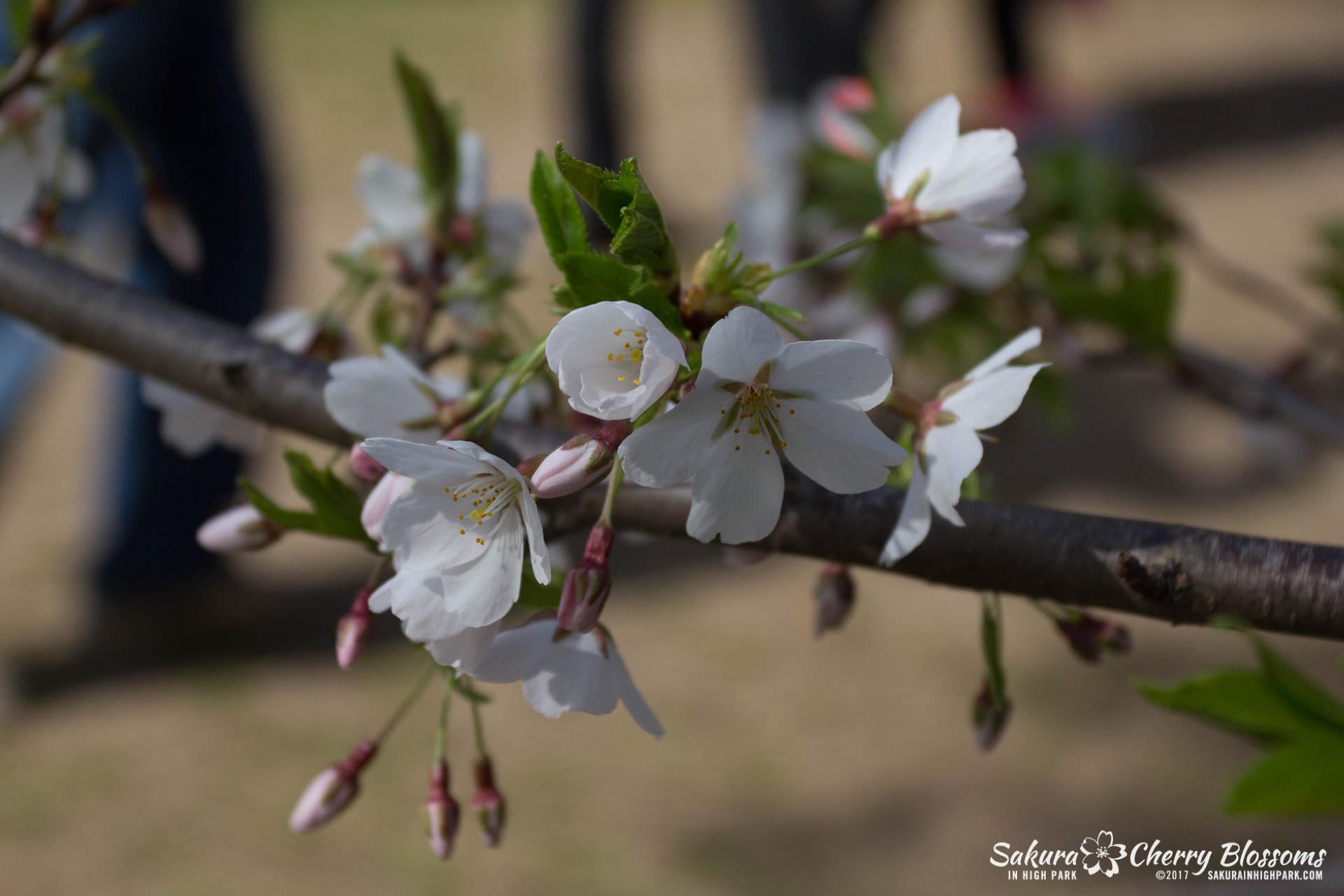 Sakura-Watch-April-28-2017-full-bloom-throughout-High-Park-5764.jpg