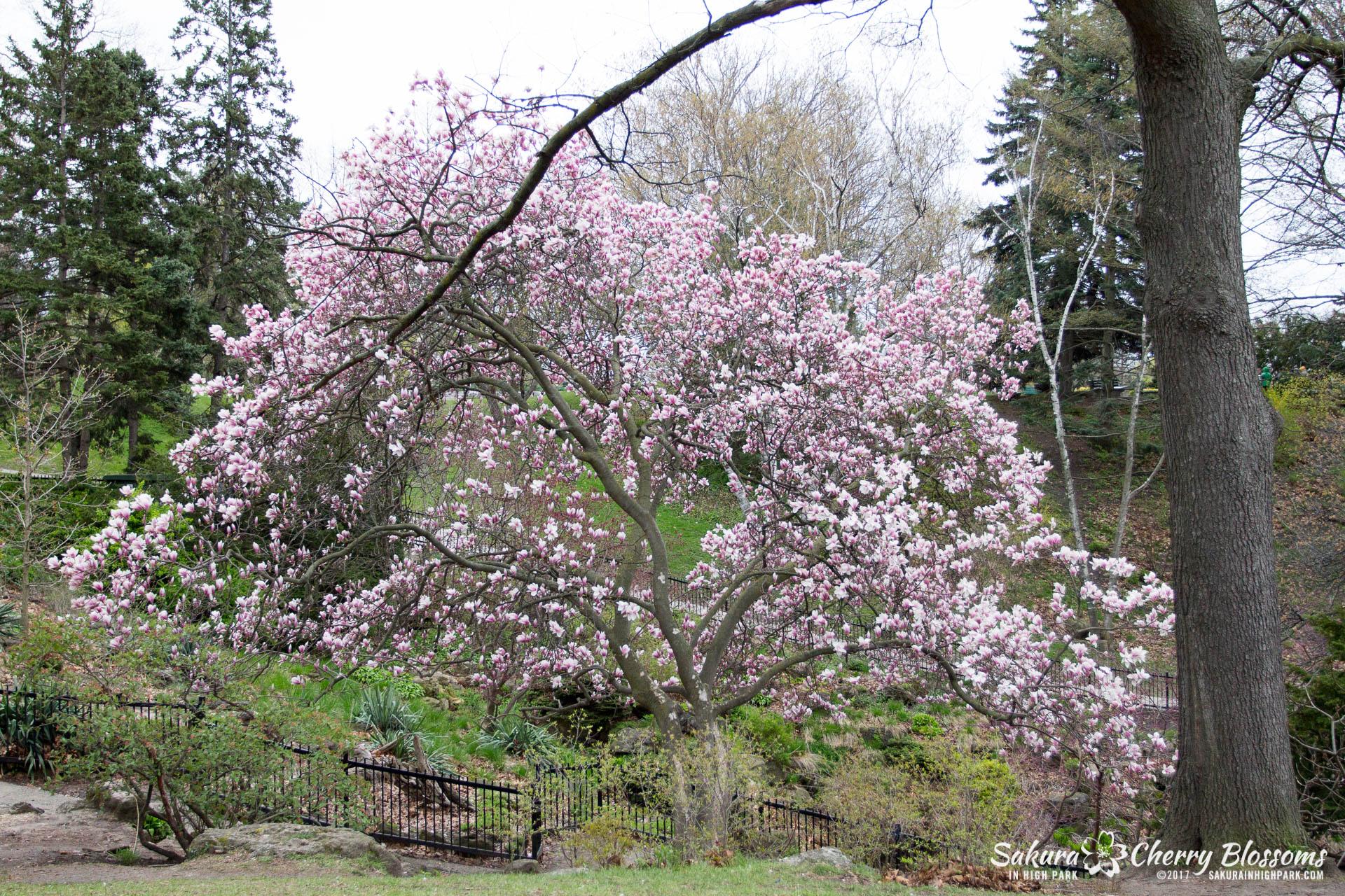 Sakura-Watch-May-2-2017-cherry-blossoms-falling-in-High-Park-104.jpg