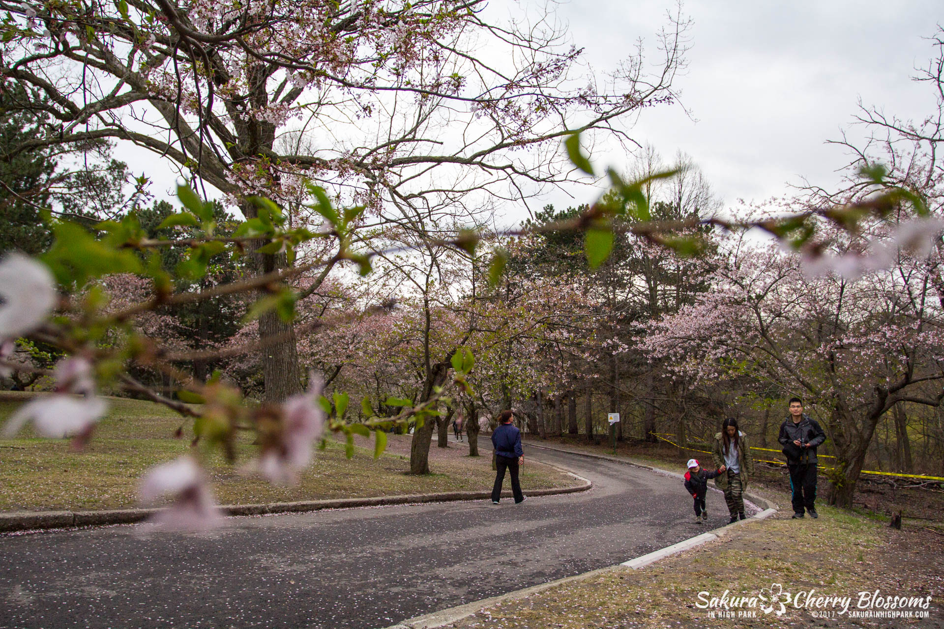 Sakura-Watch-May-2-2017-cherry-blossoms-falling-in-High-Park-88.jpg