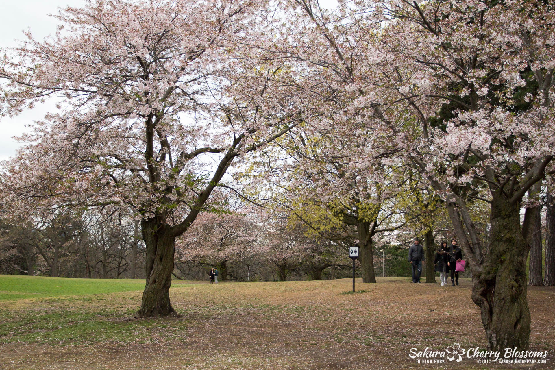 Sakura-Watch-May-2-2017-cherry-blossoms-falling-in-High-Park-5.jpg