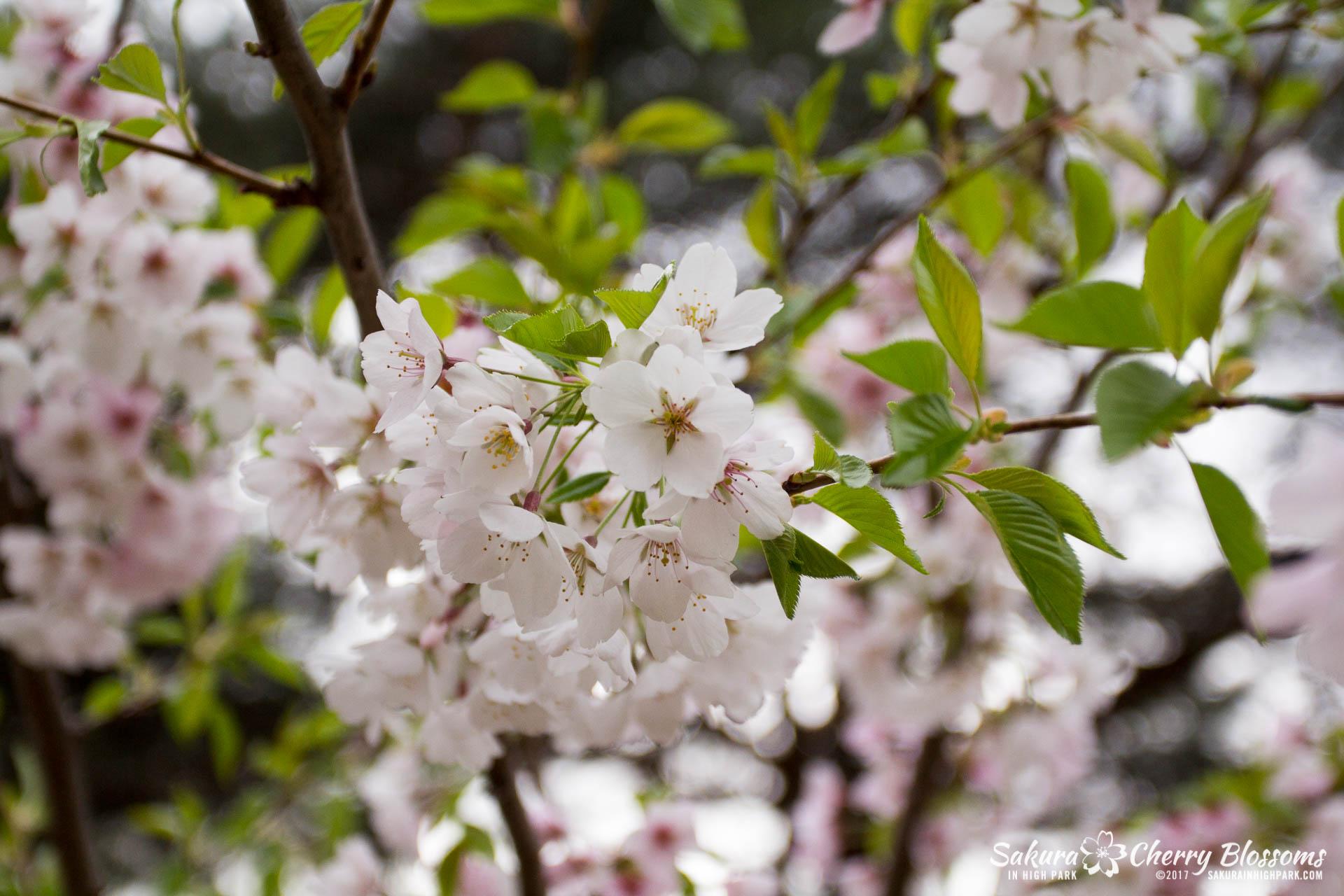 Sakura-Watch-May-2-2017-cherry-blossoms-falling-in-High-Park-133.jpg