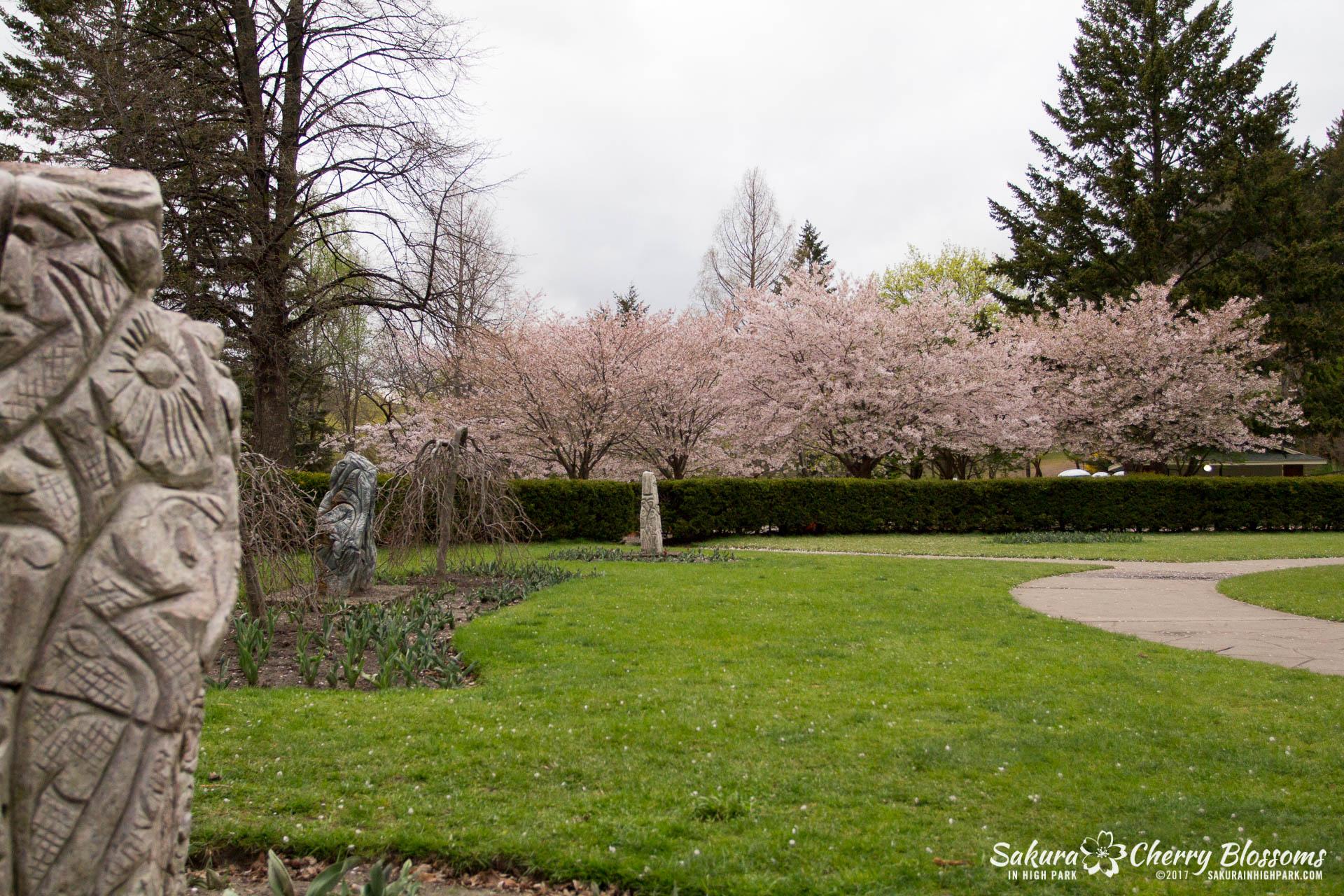 Sakura-Watch-May-2-2017-cherry-blossoms-falling-in-High-Park-211.jpg