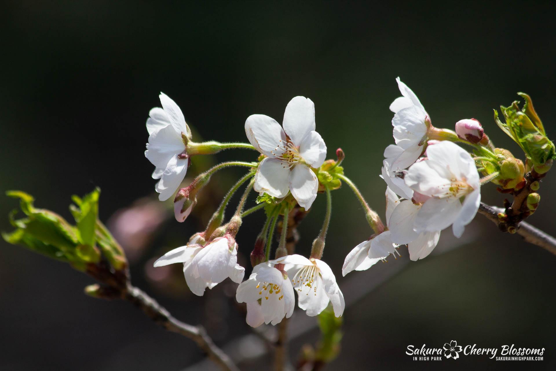 Sakura-Watch-May-5-2018-128.jpg