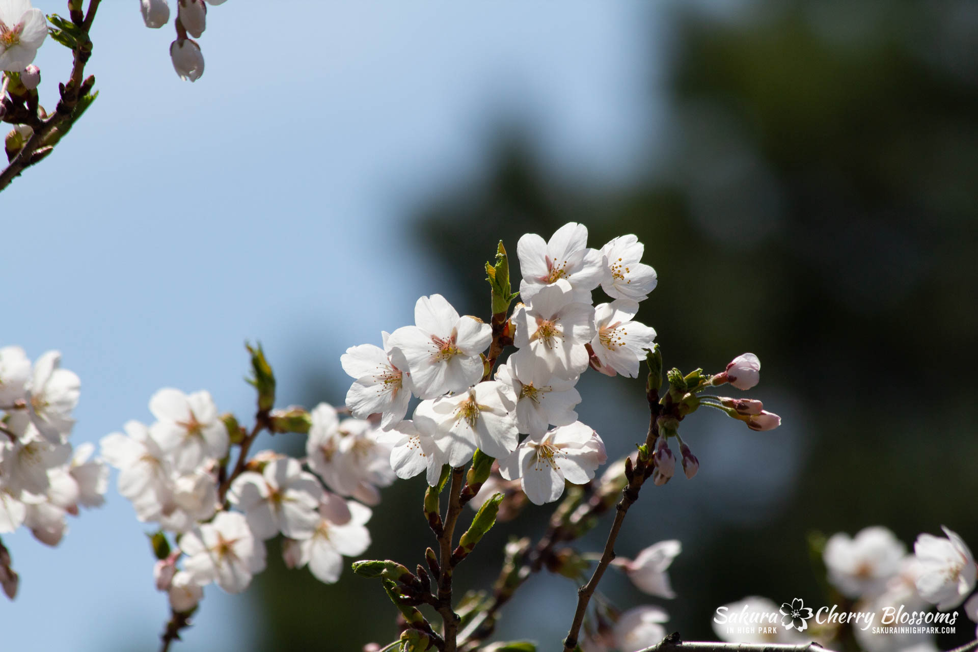 Sakura-Watch-May-5-2018-113.jpg