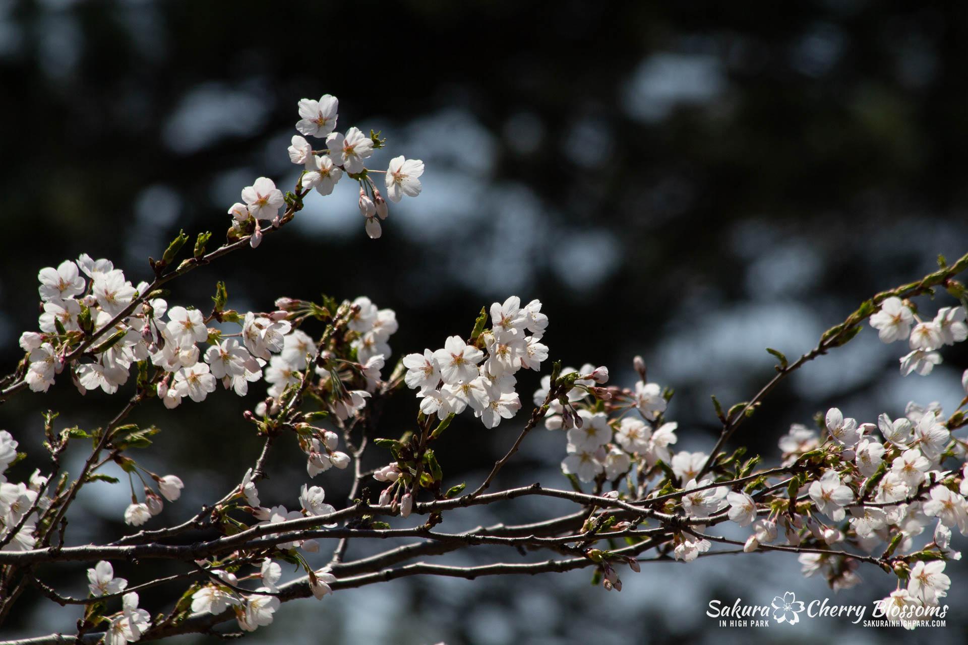 Sakura-Watch-May-5-2018-112.jpg