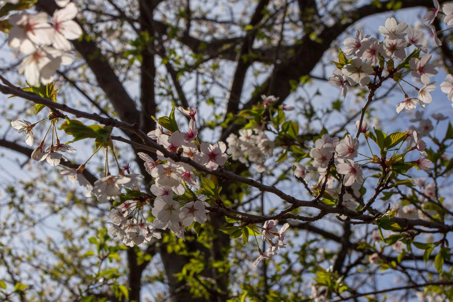 Sakura-Watch-May-9-2018-8.jpg