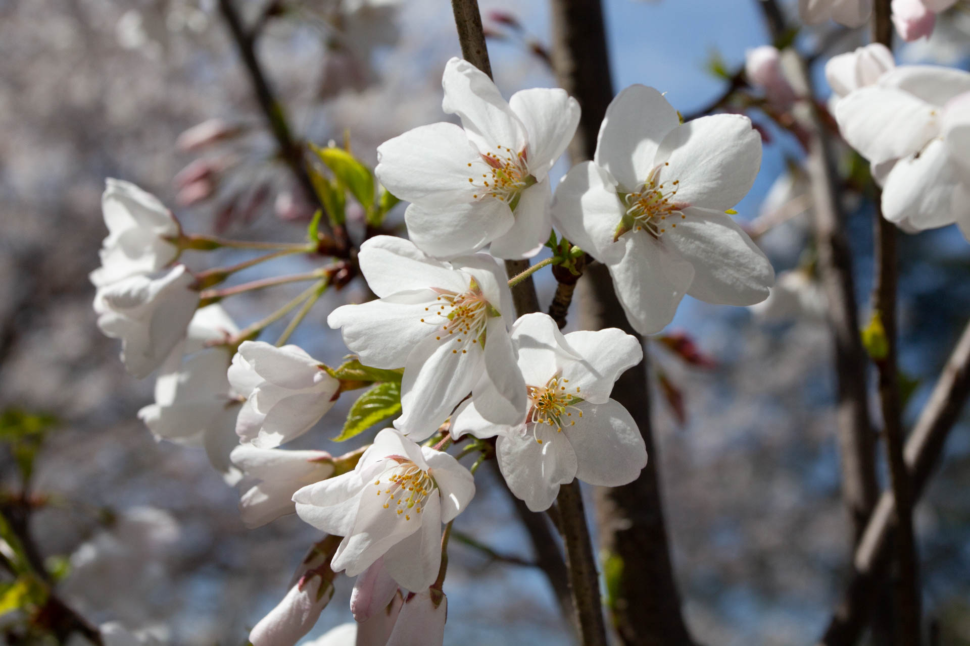 Sakura-Watch-May-9-2018-16.jpg