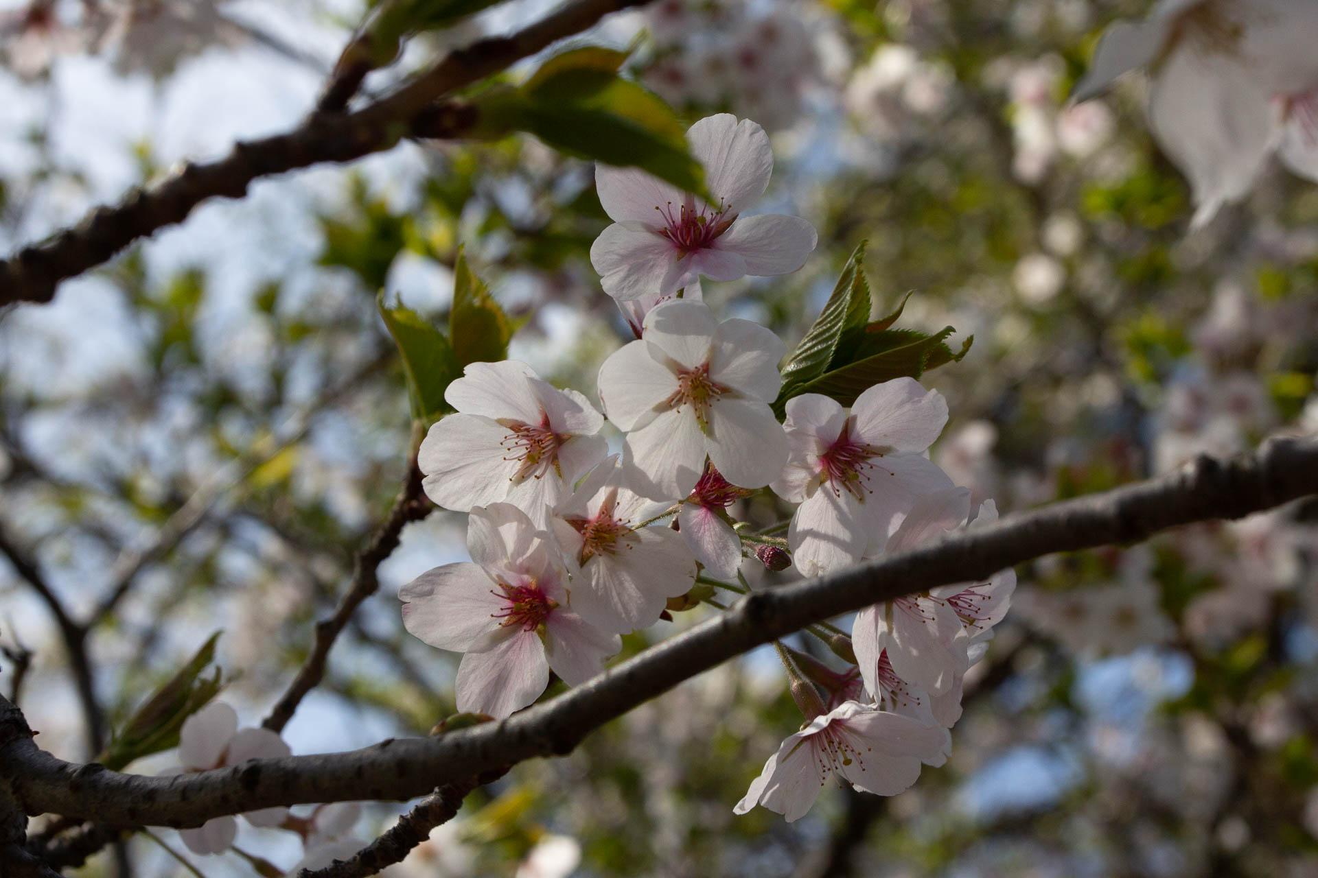 Sakura-Watch-May-9-2018-2.jpg