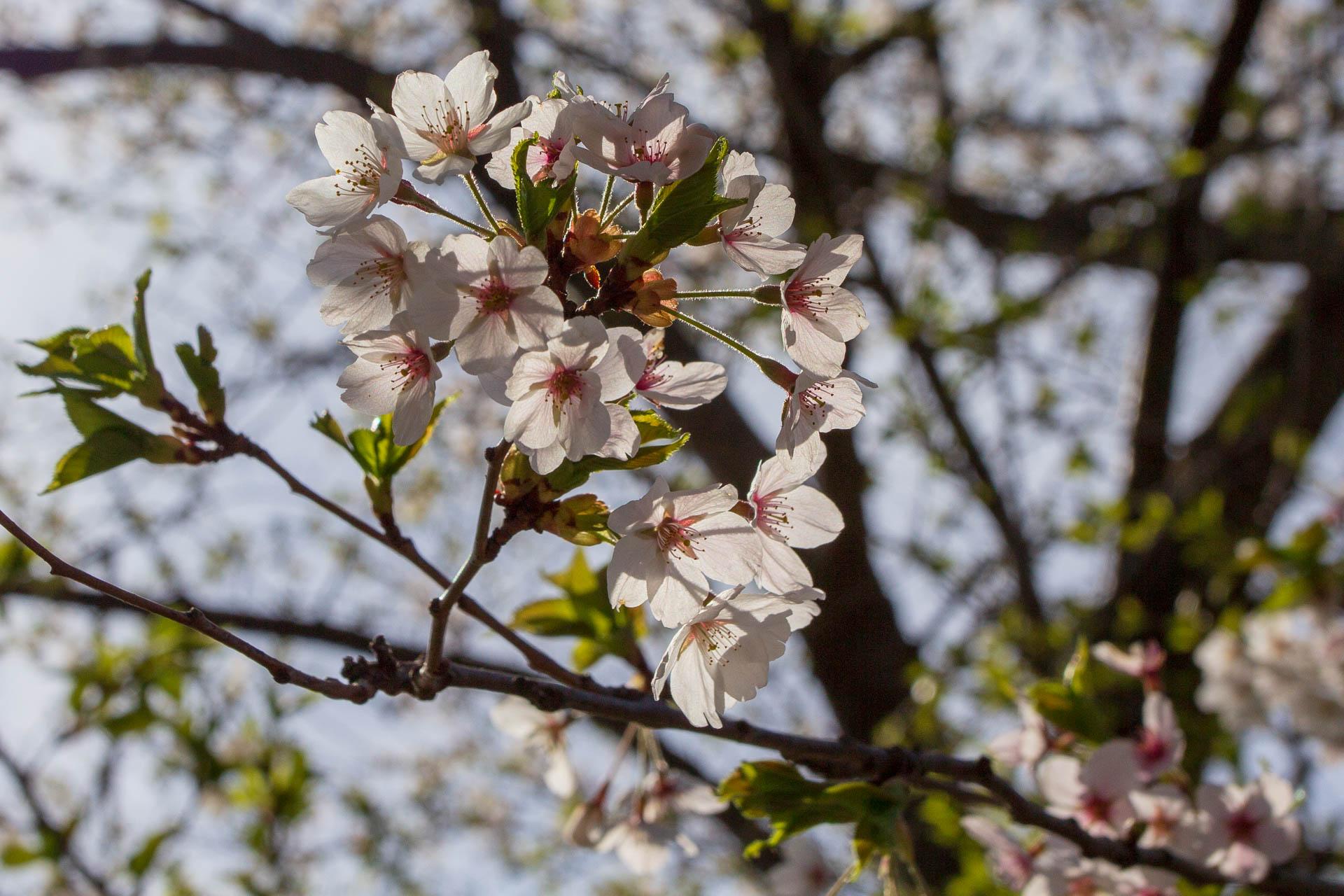 Sakura-Watch-May-9-2018-6.jpg