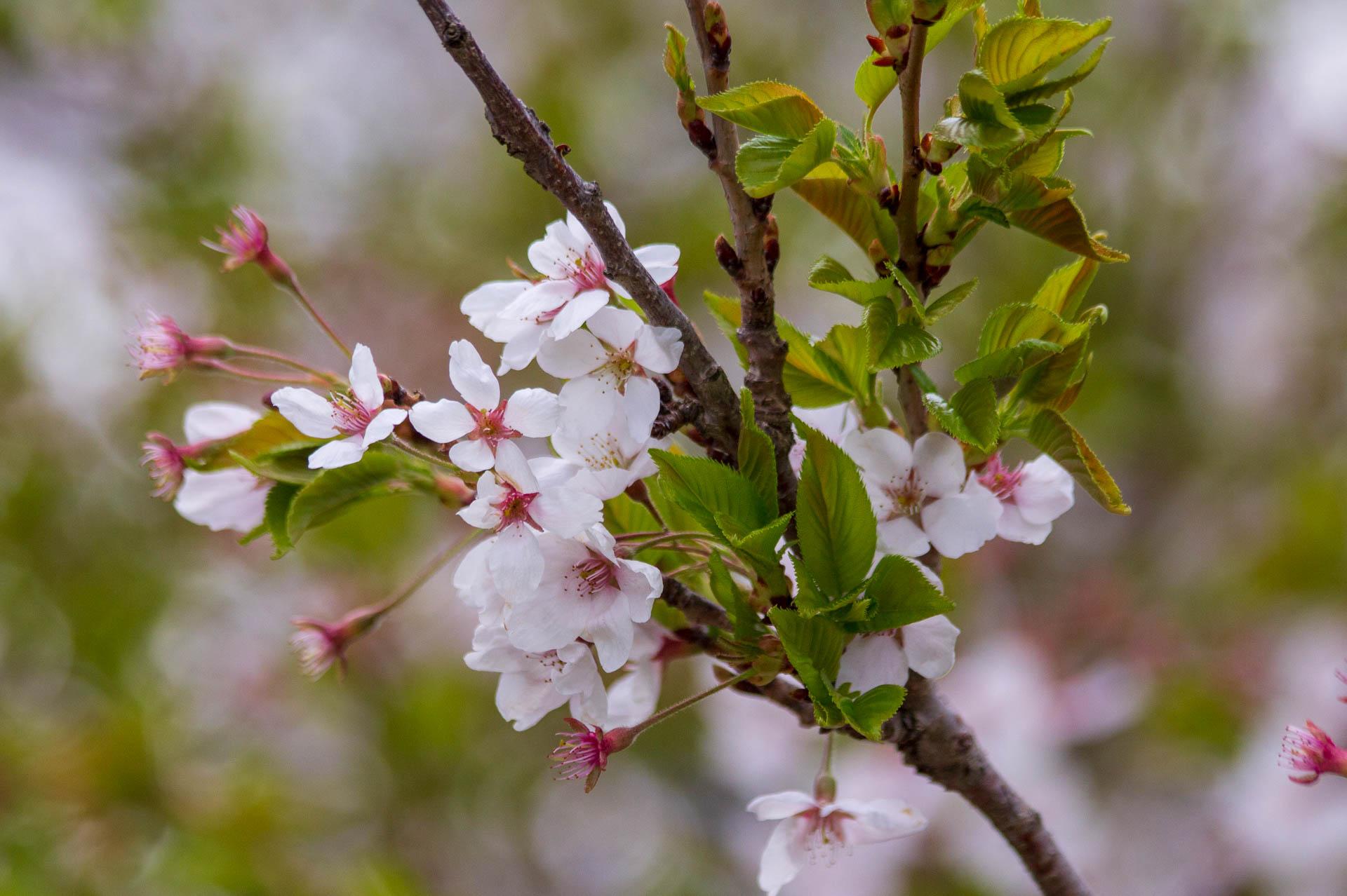 Sakura-Watch-May-10-2018-141.jpg