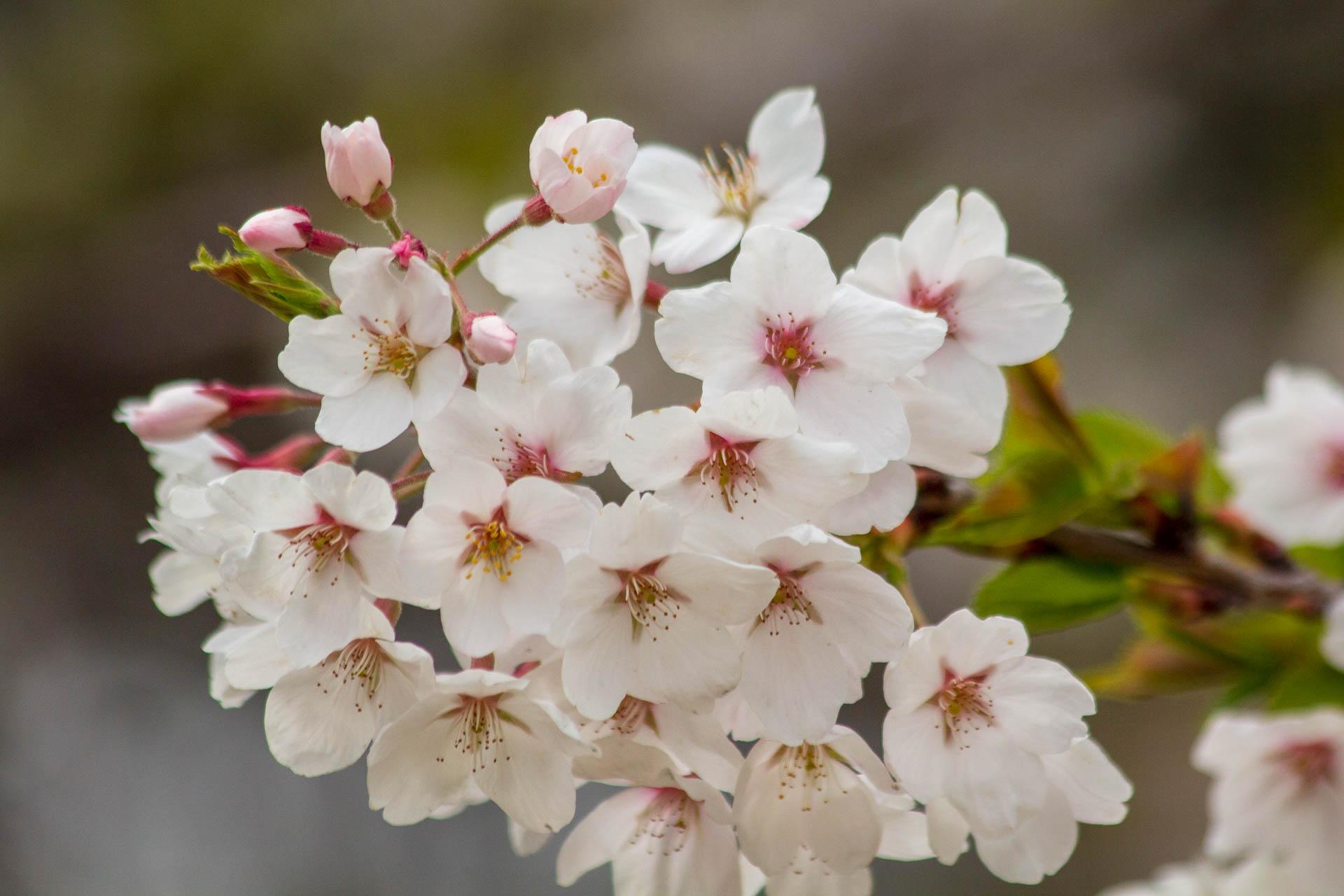 Sakura-Watch-May-10-2018-136.jpg